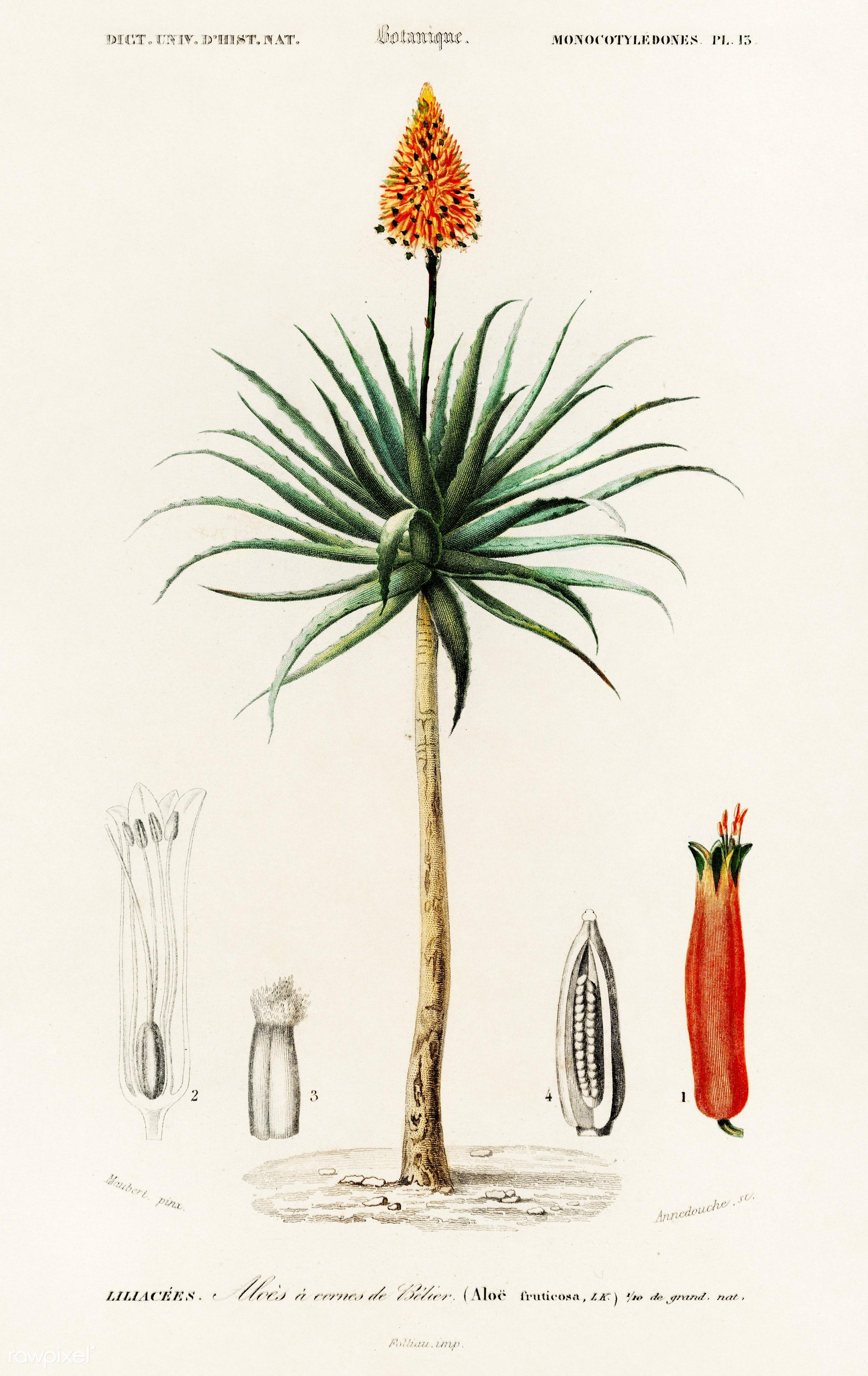 Candelabra aloe (aloe fruticosa) illustrated by Charles Dessalines D' Orbigny (1806-1876). Digitally enhanced from our...