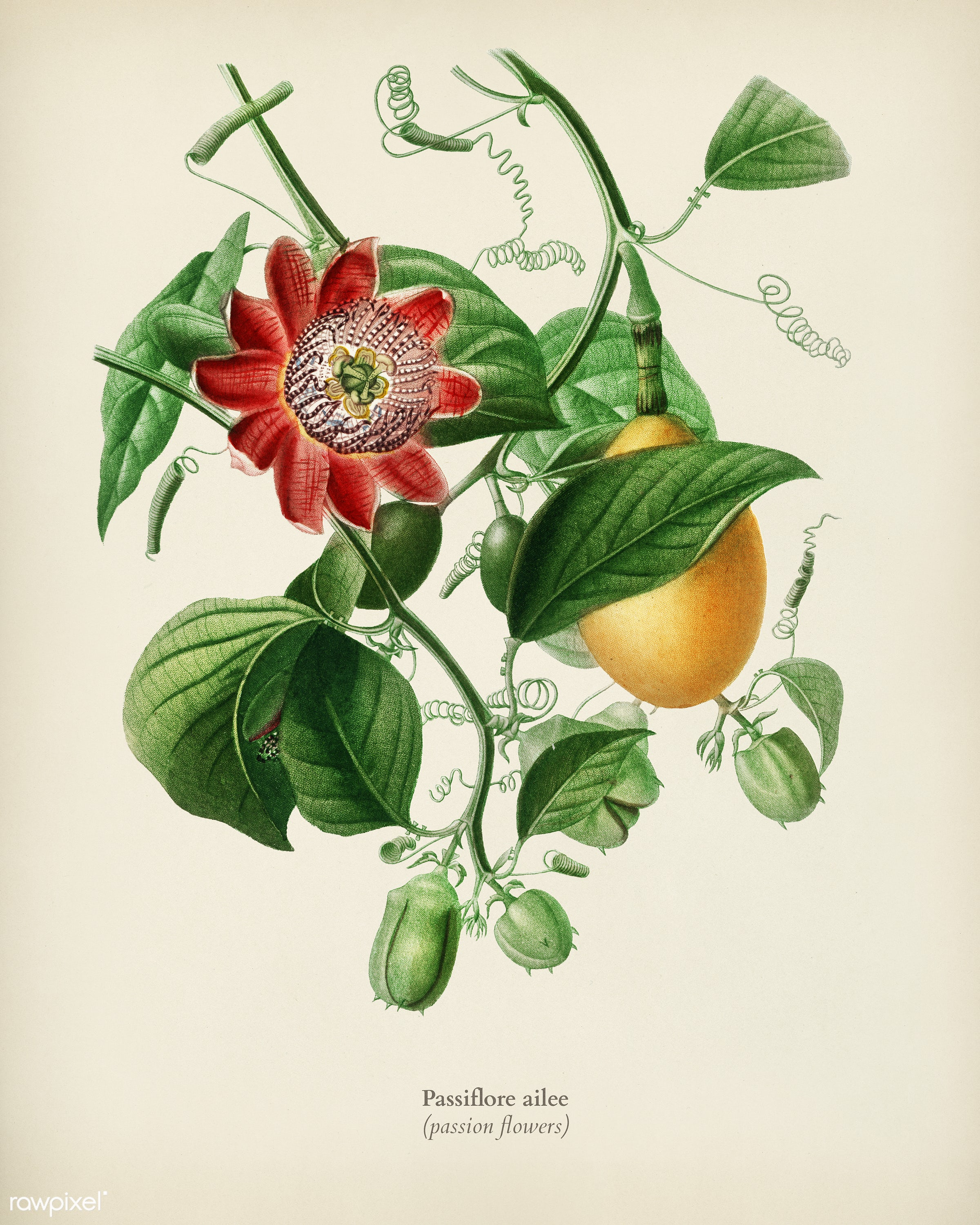 Passiflore ailee illustrated by Charles Dessalines D' Orbigny (1806-1876). Digitally enhanced from our own 1892 edition...