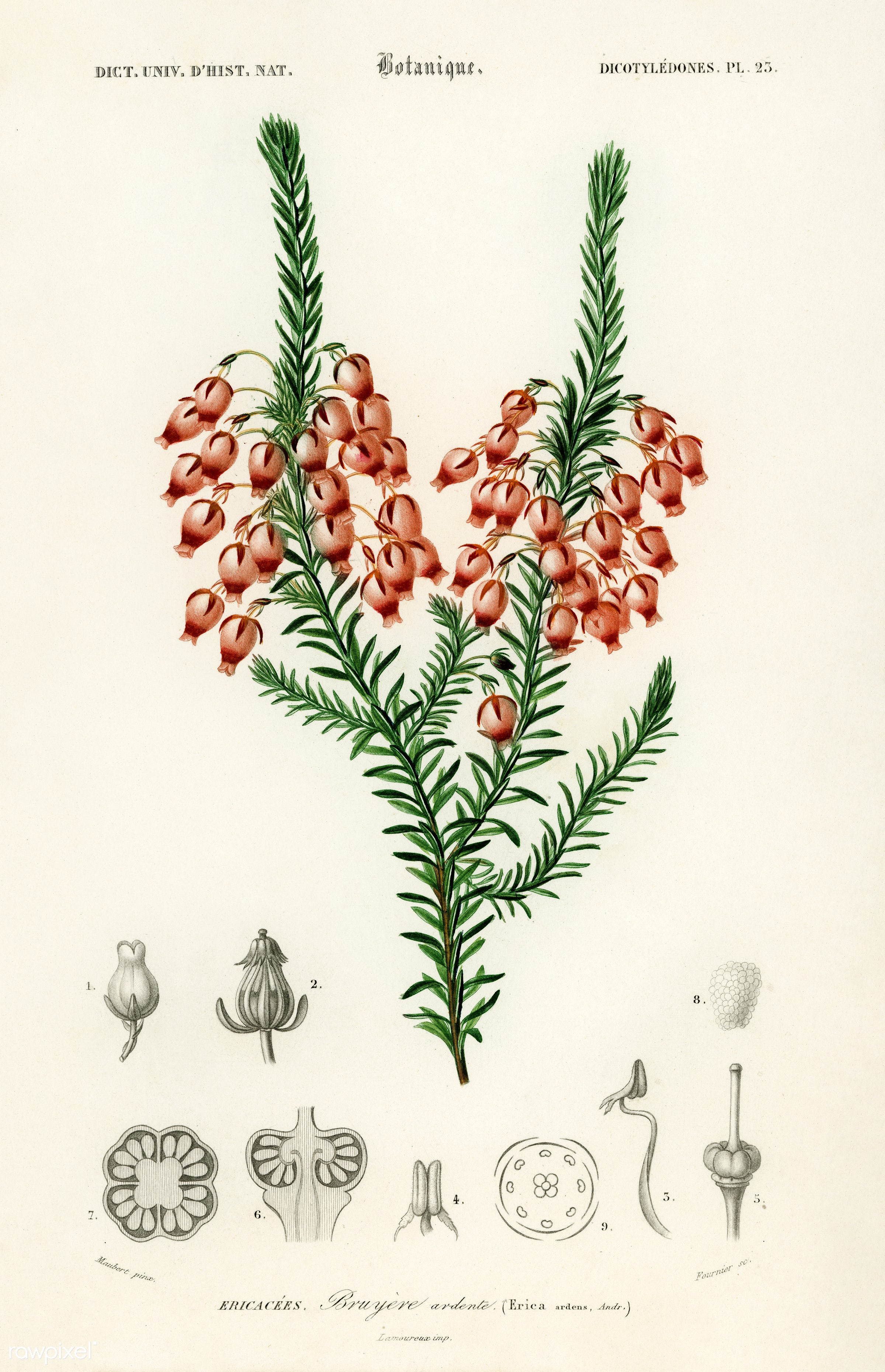 Erica ardens illustrated by Charles Dessalines D' Orbigny (1806-1876). Digitally enhanced from our own 1892 edition of...