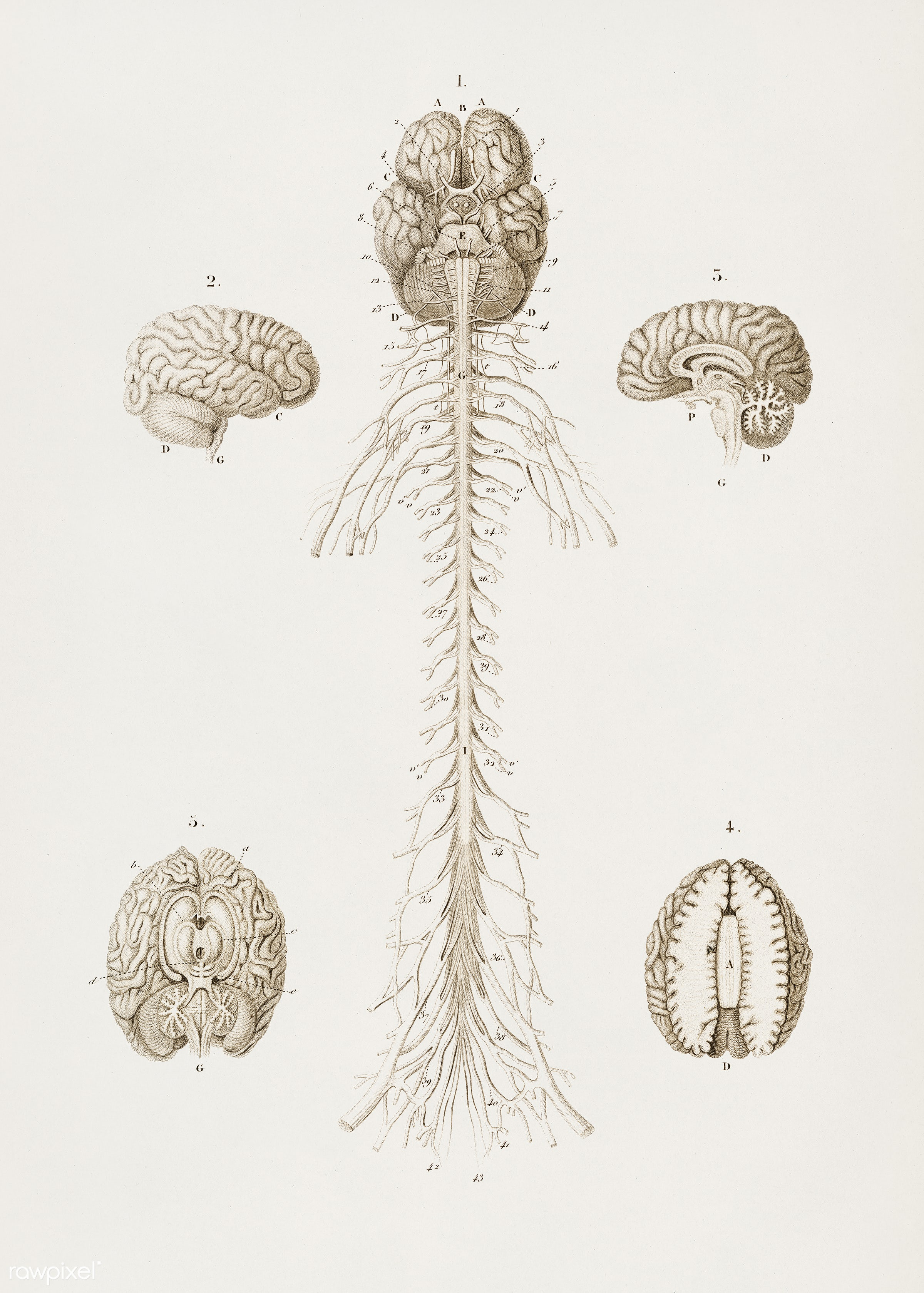 Human's Brain illustrated by Charles Dessalines D' Orbigny (1806-1876). Digitally enhanced from our own 1892...
