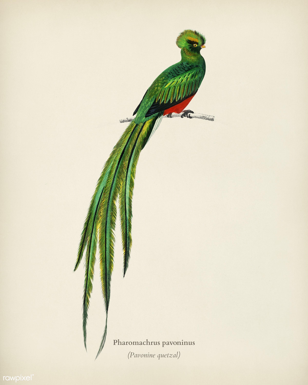 Pavonine quetzal (Pharomachrus pavoninus) illustrated by Charles Dessalines D' Orbigny (1806-1876). Digitally enhanced...