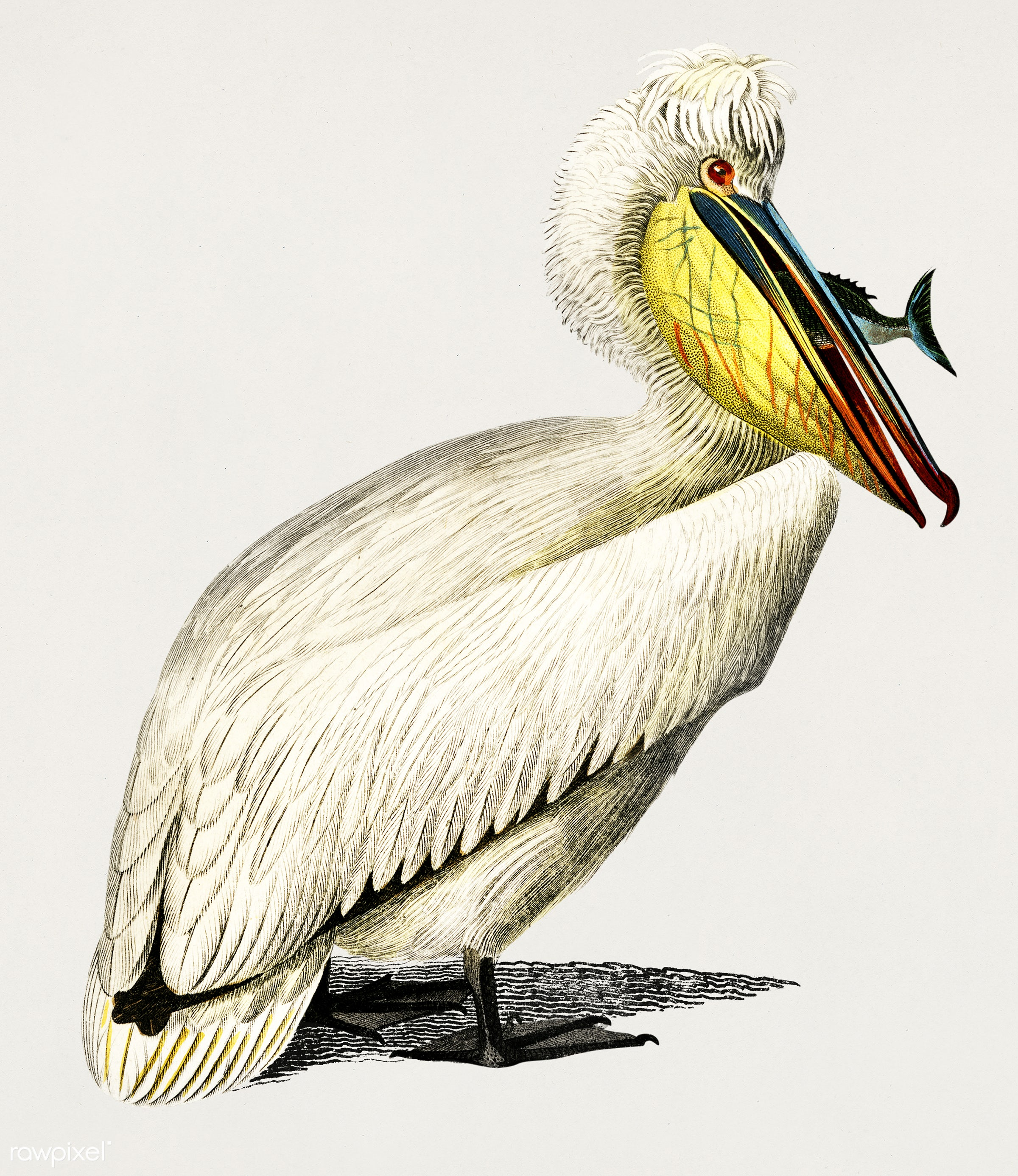 Pelican (Pelecanus) illustrated by Charles Dessalines D' Orbigny (1806-1876). Digitally enhanced from our own 1892...