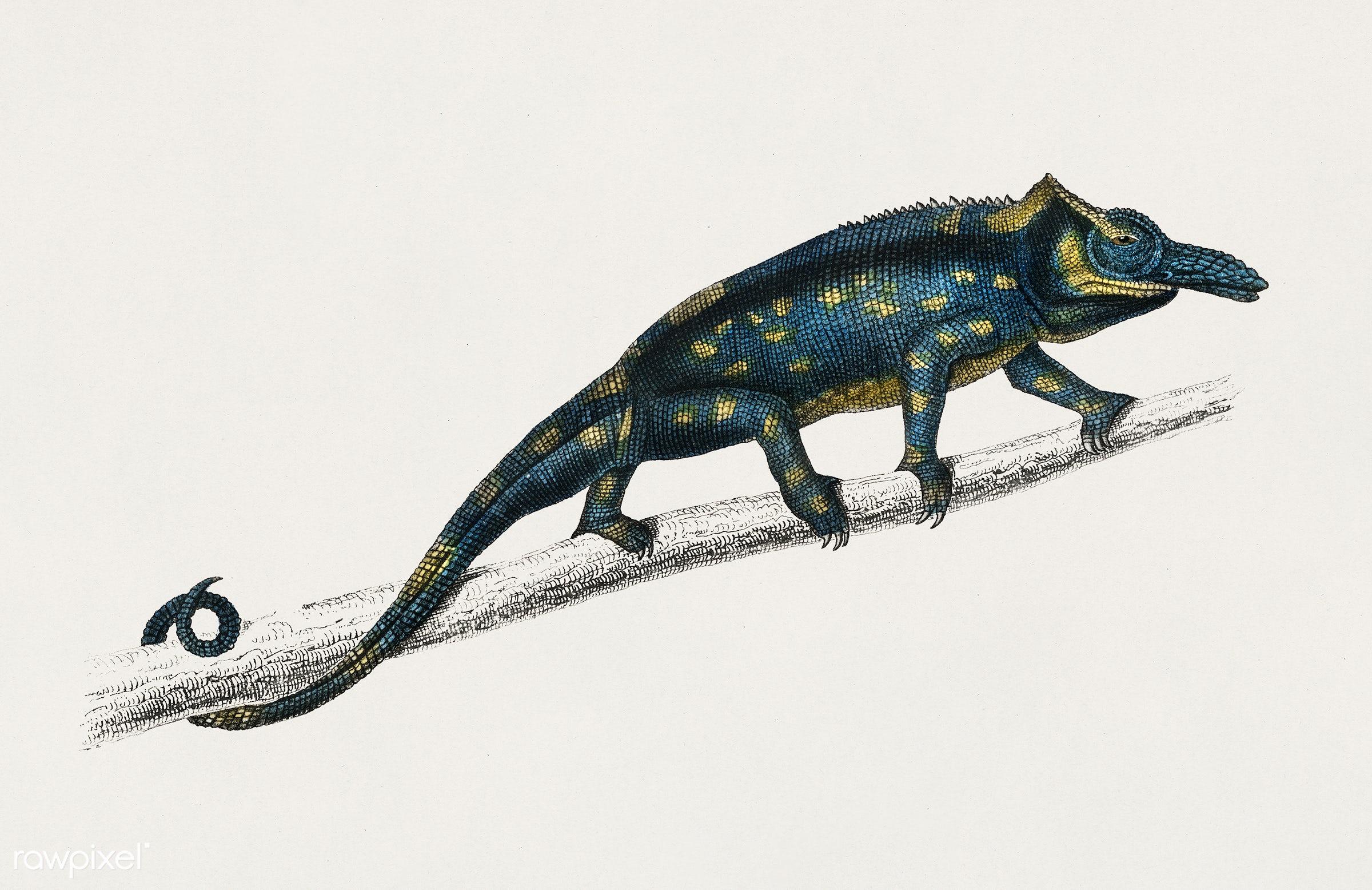 Two-horned chameleon (Furcifer bifidus) illustrated by Charles Dessalines D' Orbigny (1806-1876). Digitally enhanced...