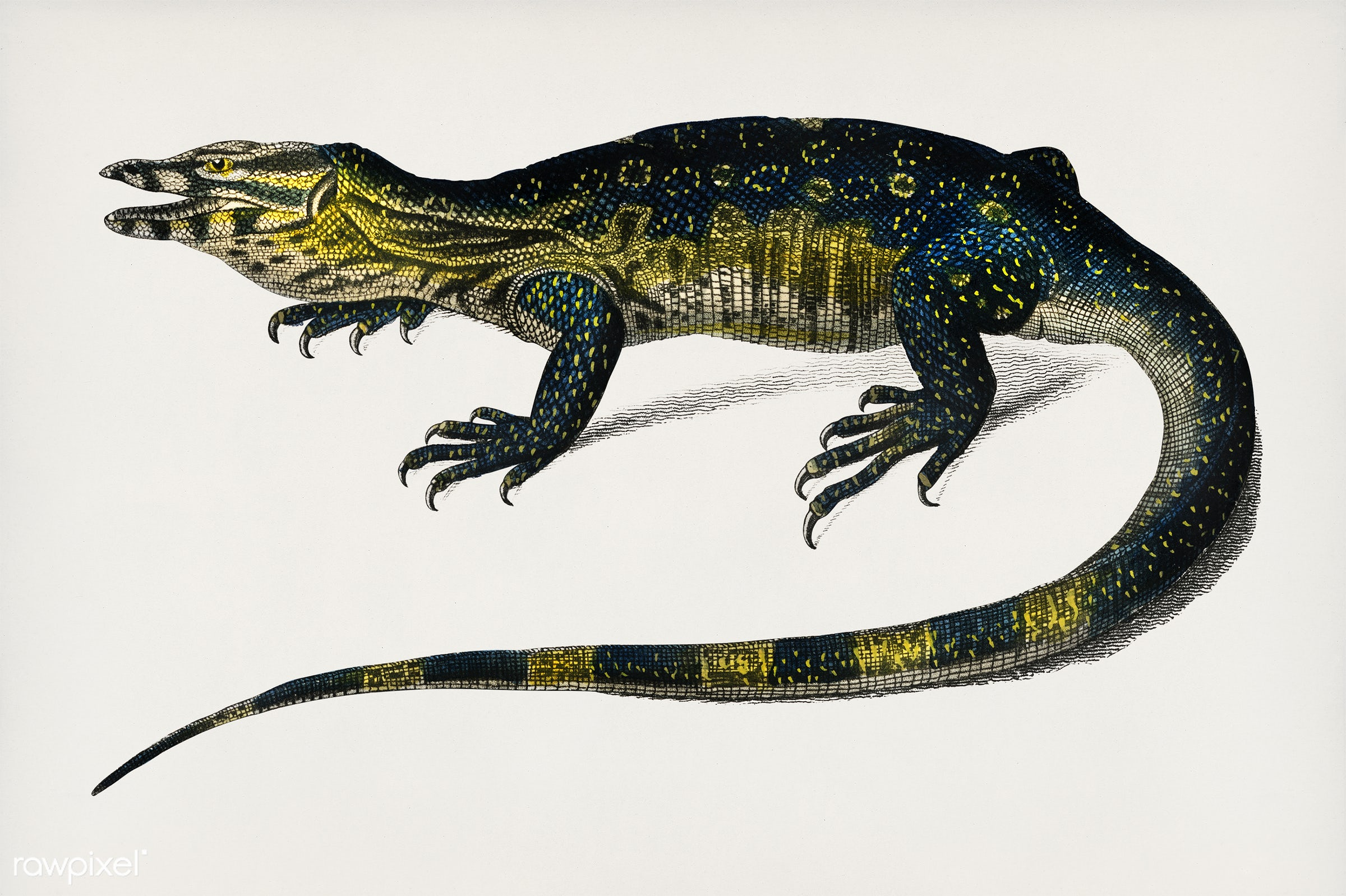 Water monitor (Varanus) illustrated by Charles Dessalines D' Orbigny (1806-1876). Digitally enhanced from our own 1892...