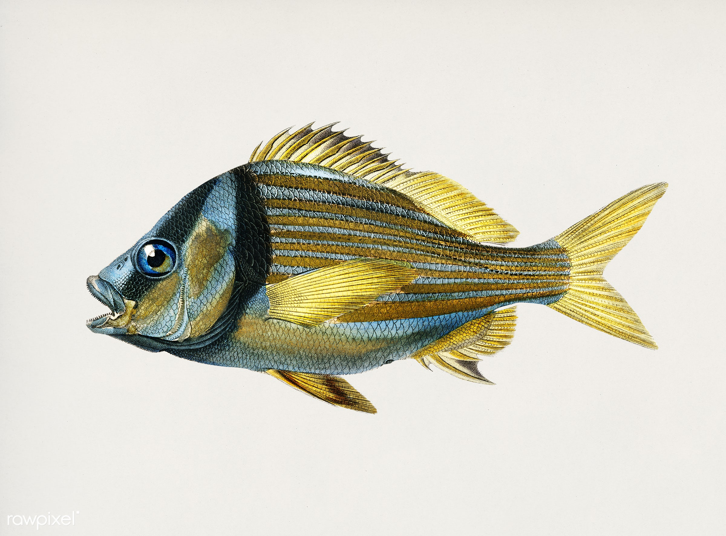 Porkfish (Pristipoma virginianum) illustrated by Charles Dessalines D' Orbigny (1806-1876). Digitally enhanced from our...