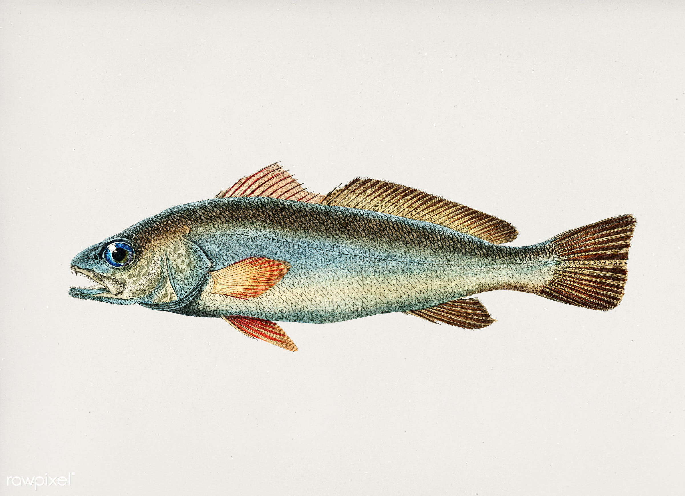 Shade-fish (Sciaena aquila) illustrated by Charles Dessalines D' Orbigny (1806-1876). Digitally enhanced from our own...