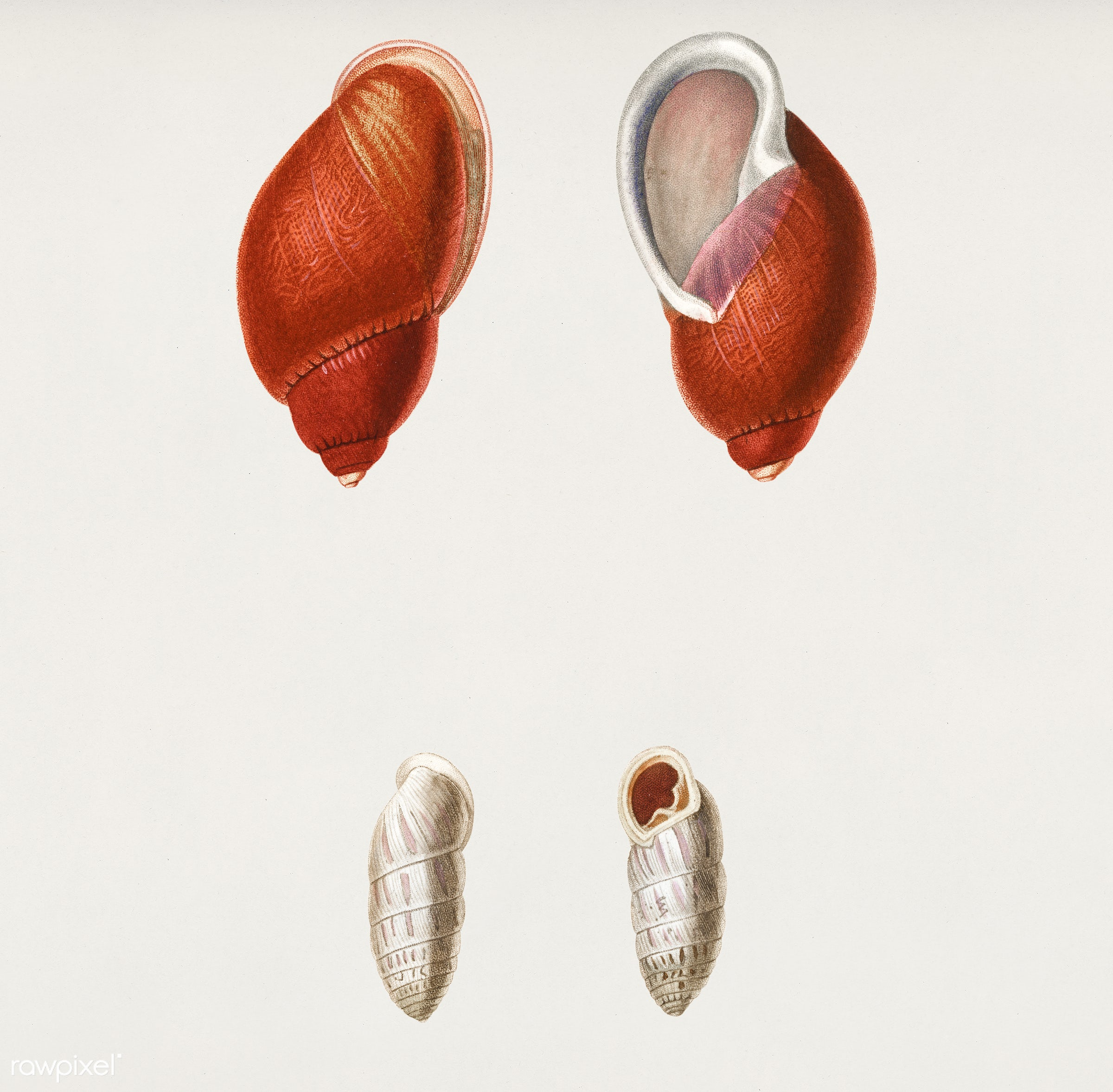 Bulimus pudicus and Pupa chrysalis illustrated by Charles Dessalines D' Orbigny (1806-1876). Digitally enhanced from our...