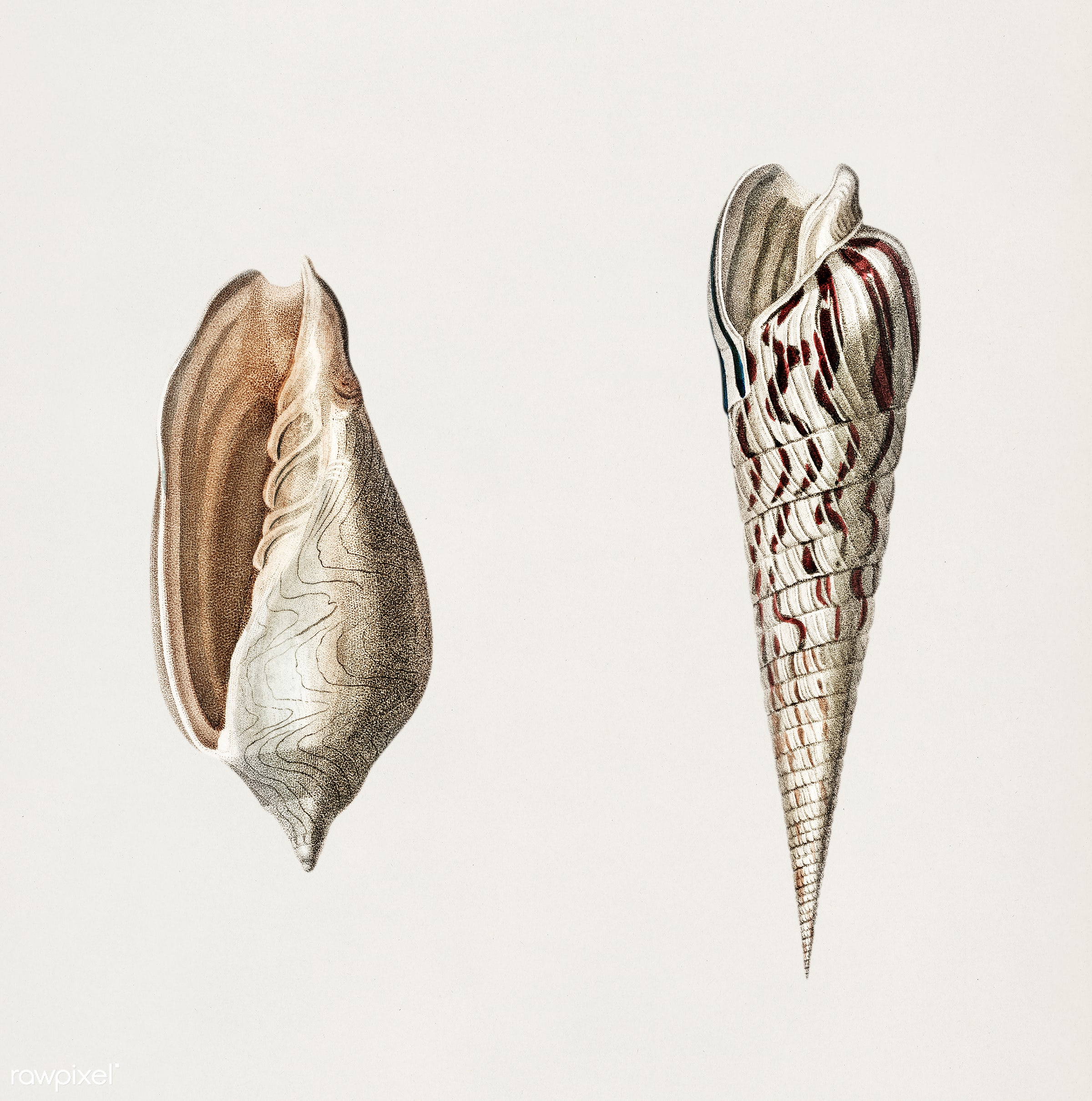 Wavy Volute (Voluta undulata) and Zebra Auger (Terebra strigata) illustrated by Charles Dessalines D' Orbigny (1806-1876...