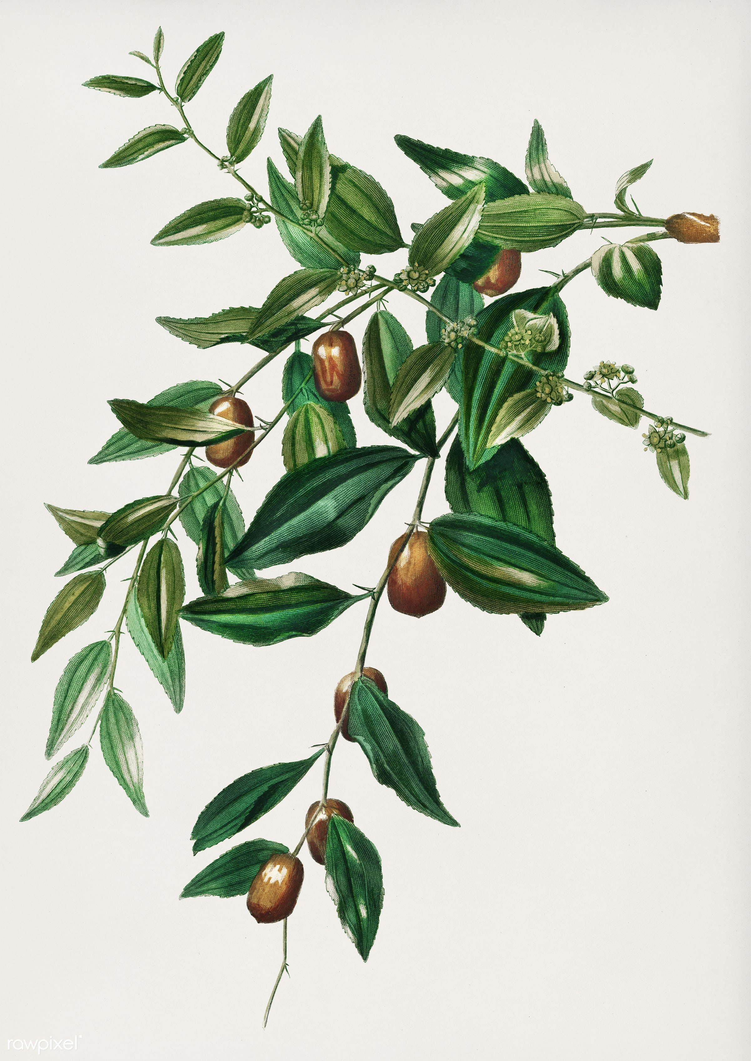 Jujube red date (Ziziphus vulgaris) illustrated by Charles Dessalines D' Orbigny (1806-1876). Digitally enhanced from...