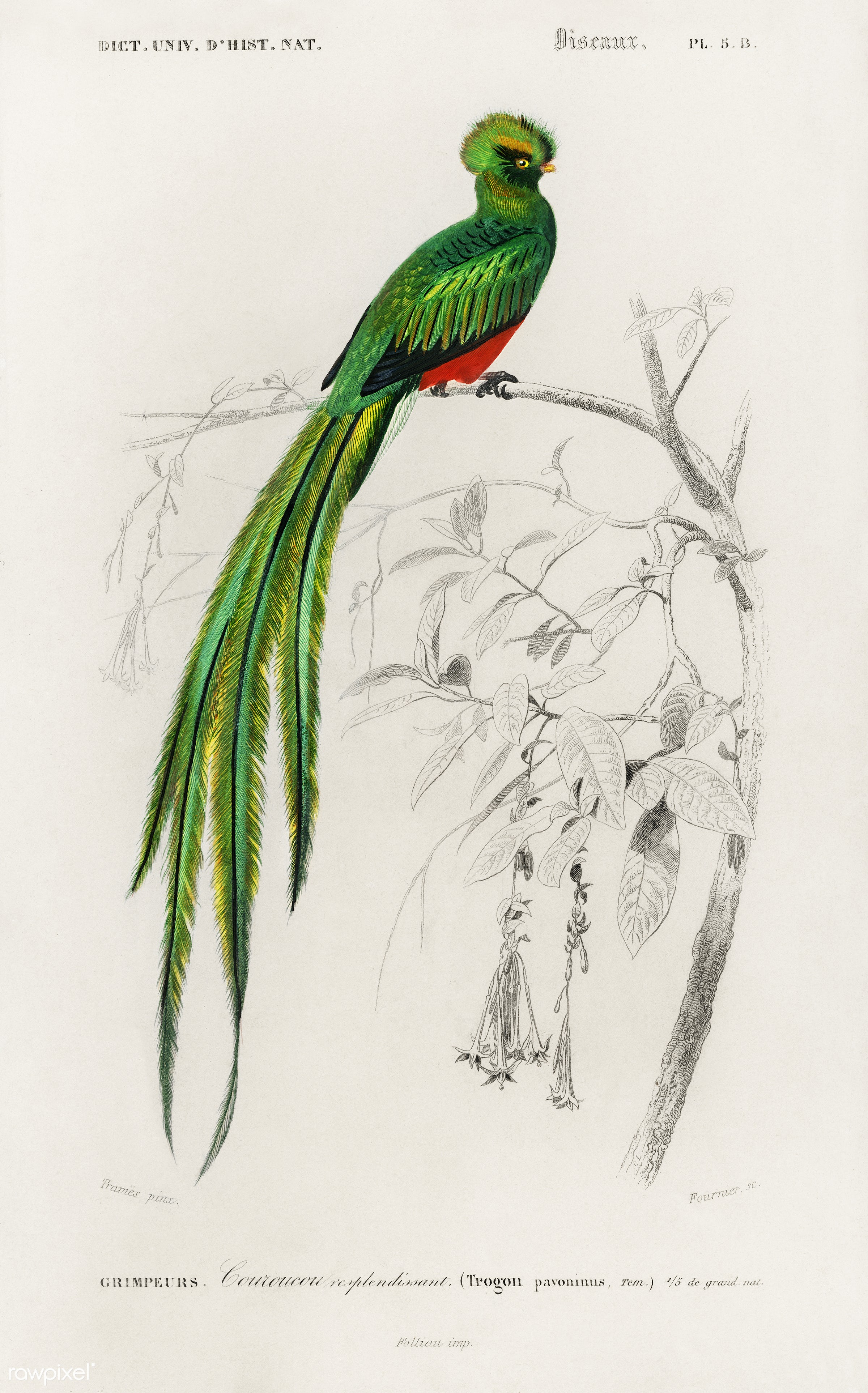 Pavonine quetzal (Pharomachrus pavoninus) illustrated by Charles Dessalines D' Orbigny (1806-1876). Digitally enhanced...