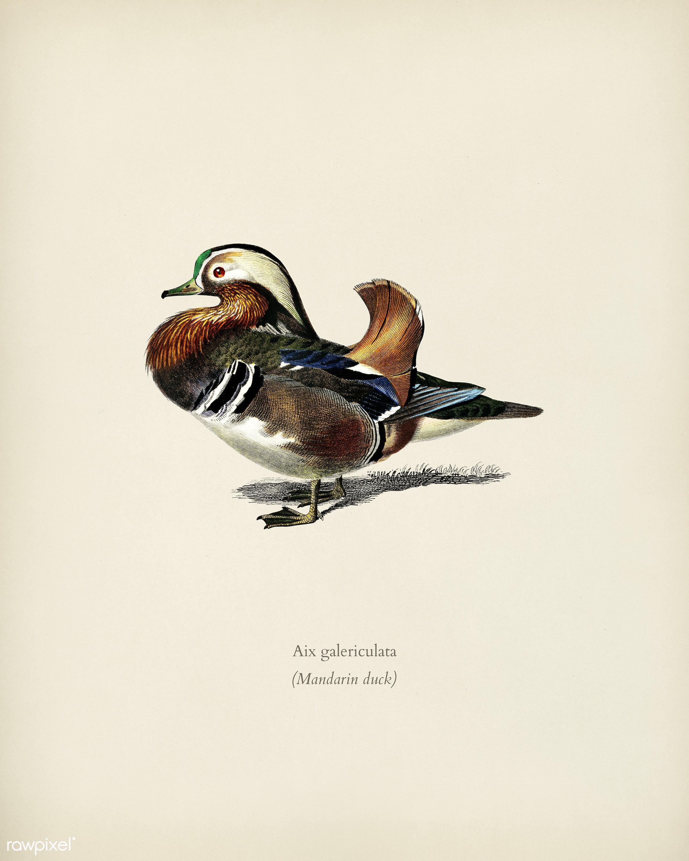 Mandarin duck (Aix galericulata) illustrated by Charles Dessalines D' Orbigny (1806-1876). Digitally enhanced from our...
