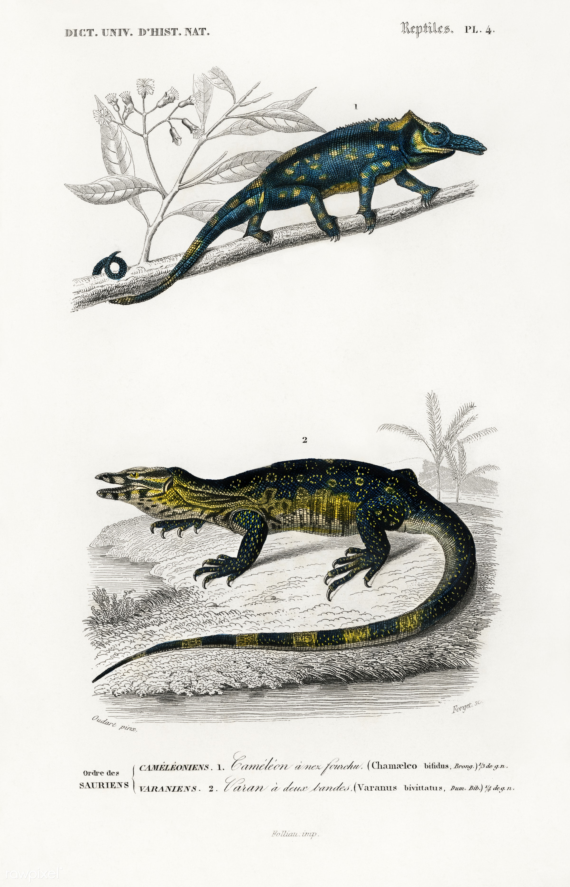 Two-horned chameleon (Furcifer bifidus) illustrated by Charles Dessalines D' Orbigny (1806-1876). Digitally enhanced...