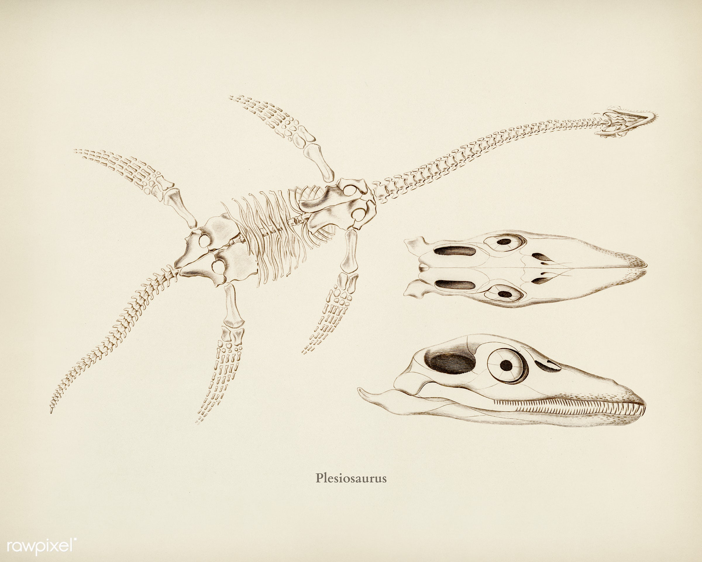 Plesiosaurus illustrated by Charles Dessalines D' Orbigny (1806-1876). Digitally enhanced from our own 1892 edition of...