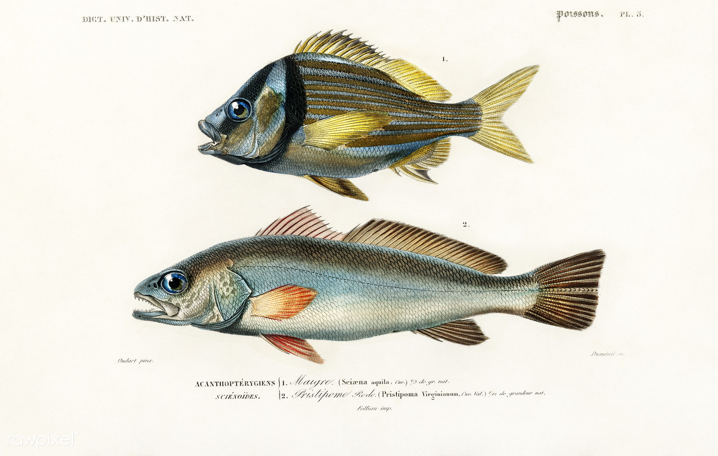 Porkfish (Pristipoma virginianum) and Shade-fish (Sciaena aquila) illustrated by Charles Dessalines D' Orbigny (1806-...
