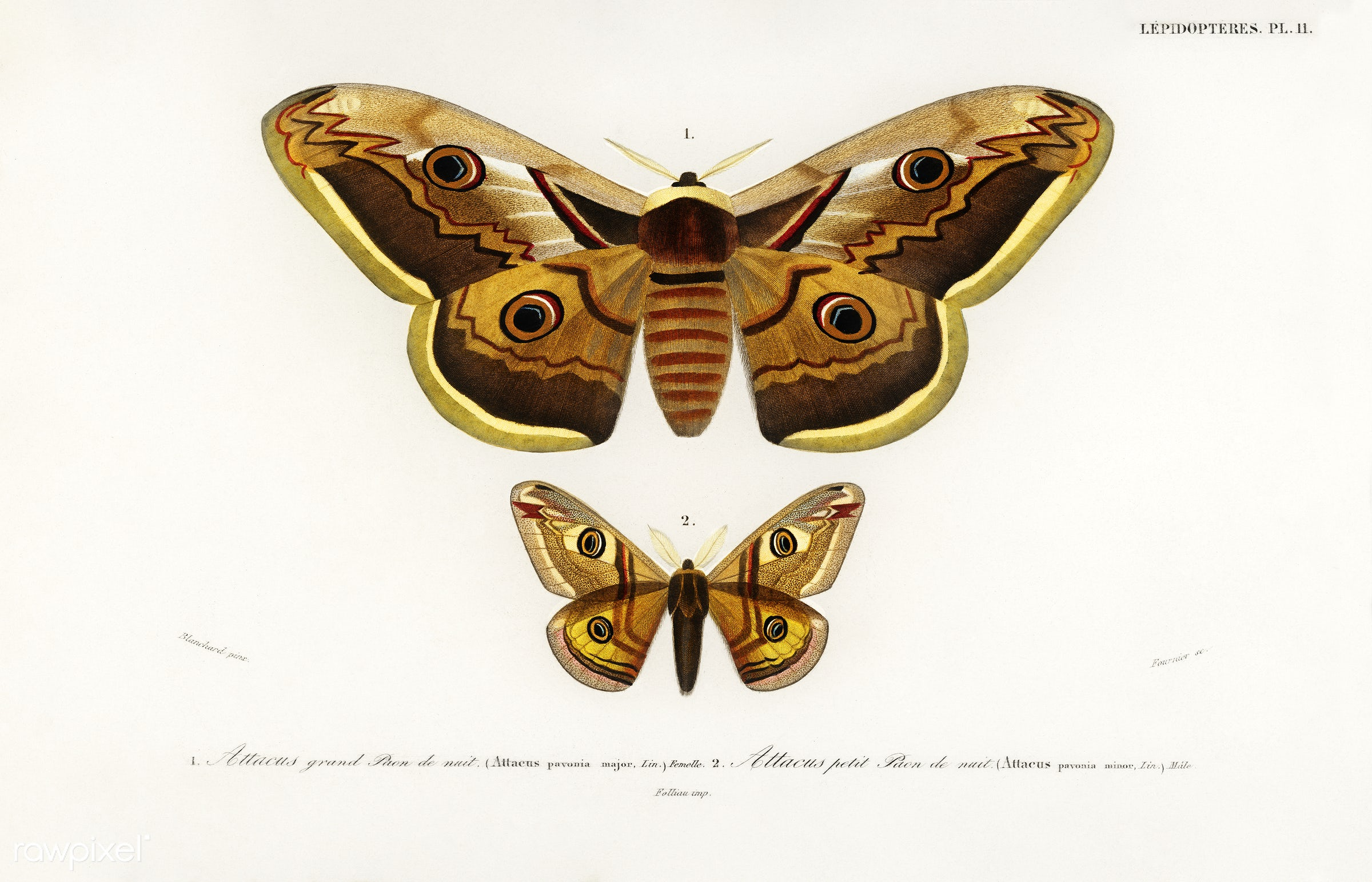 Emporor moths illustrated by Charles Dessalines D' Orbigny (1806-1876). Digitally enhanced from our own 1892 edition of...