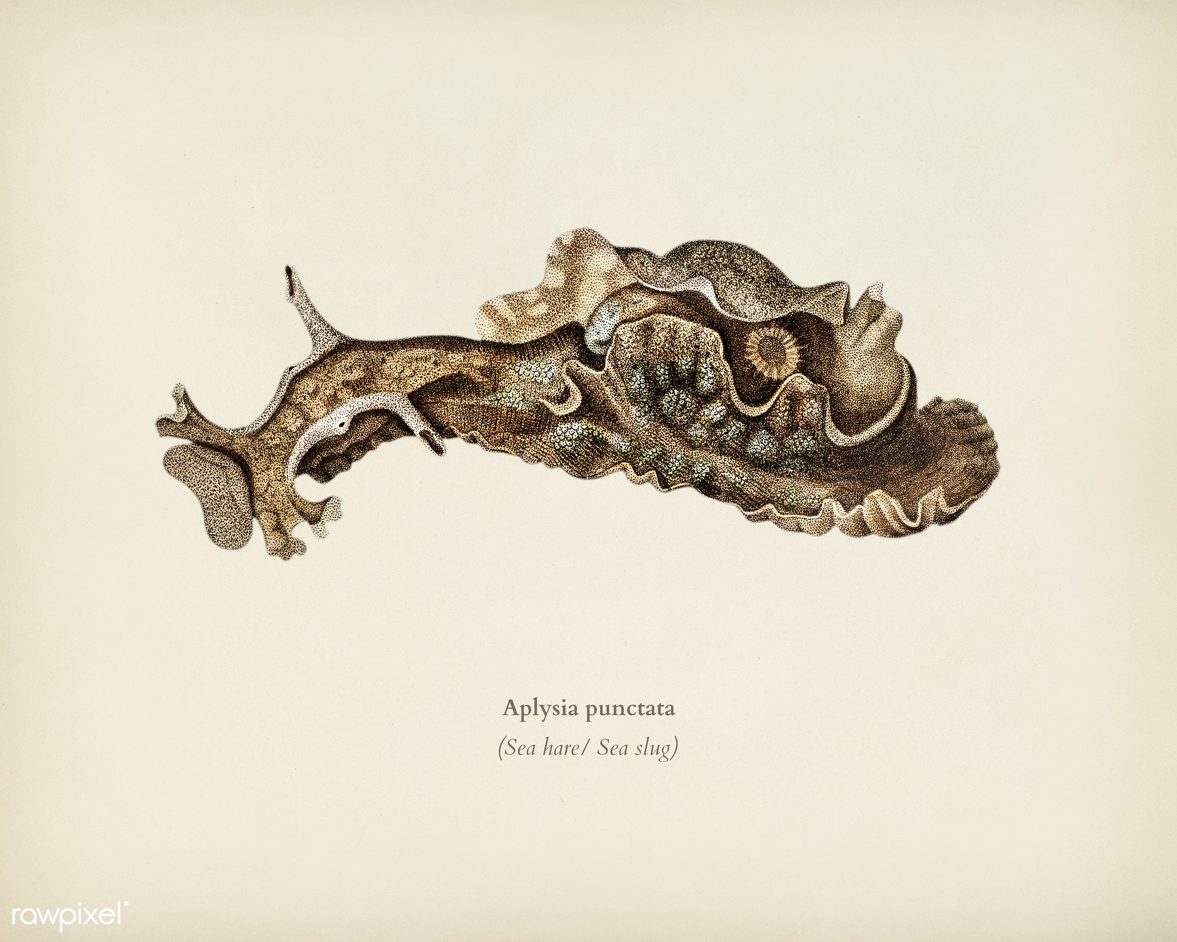 Sea slug (Aplysia punctata) illustrated by Charles Dessalines D' Orbigny (1806-1876). Digitally enhanced from our own...