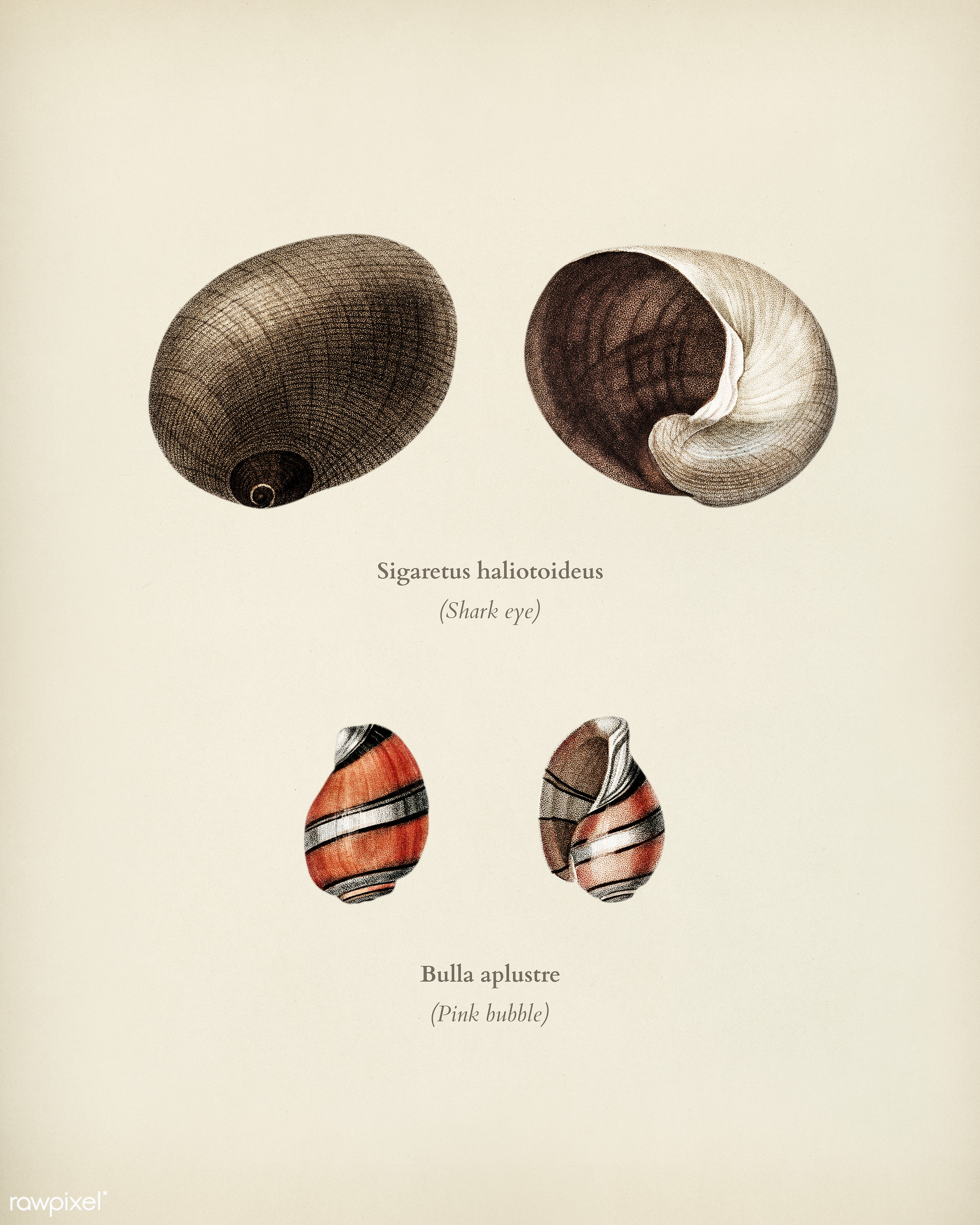 Shark eye (Sigaretus haliotoideus) and Pink bubble (Bulla aplustre) illustrated by Charles Dessalines D' Orbigny (1806-...