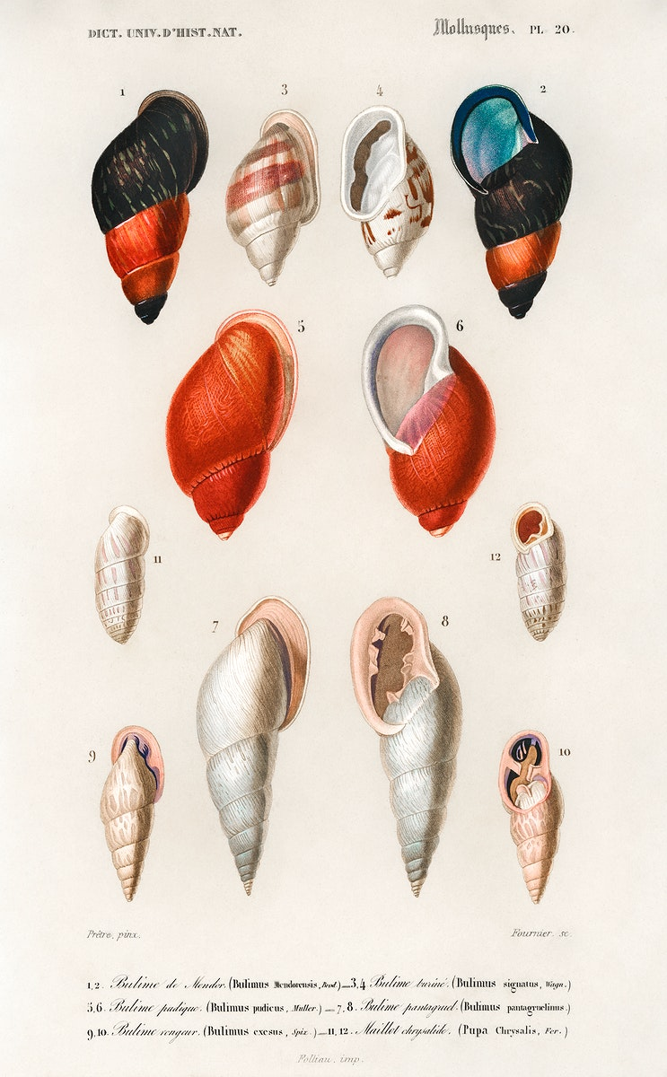 Different types of mollusks illustrated by Charles Dessalines D' Orbigny (1806-1876). Digitally enhanced from our own 1892…