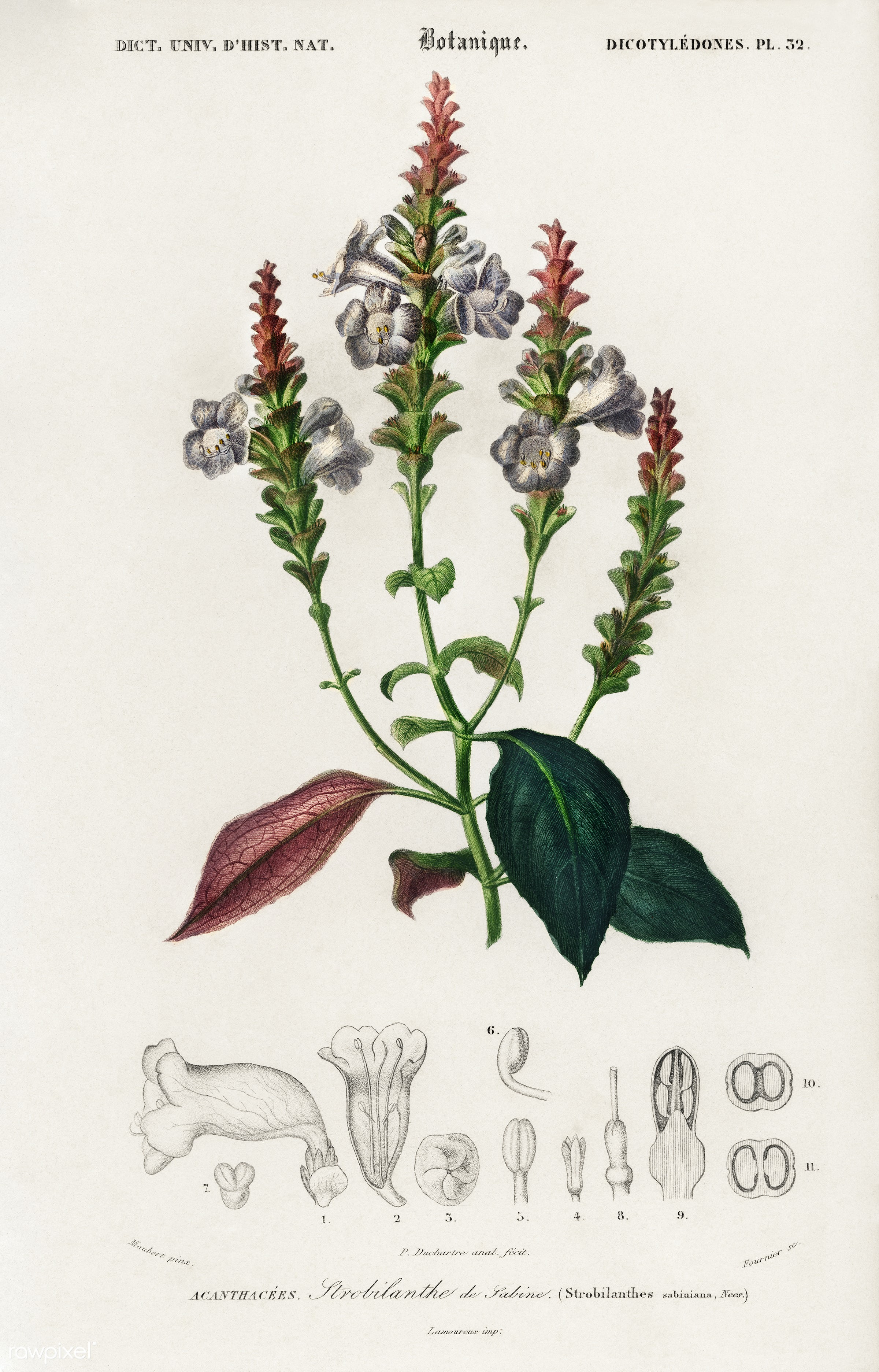 Strobilanthes sabiniana illustrated by Charles Dessalines D' Orbigny (1806-1876). Digitally enhanced from our own 1892...