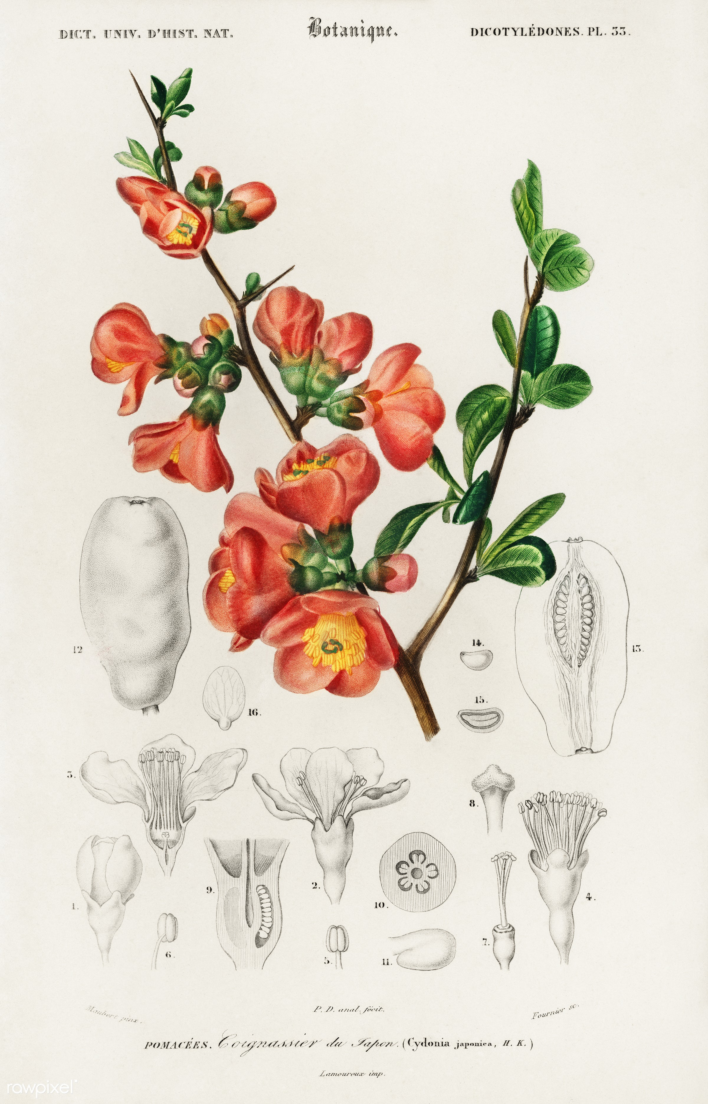 Maule's quince (Cydonia japonica) illustrated by Charles Dessalines D' Orbigny (1806-1876). Digitally enhanced from...