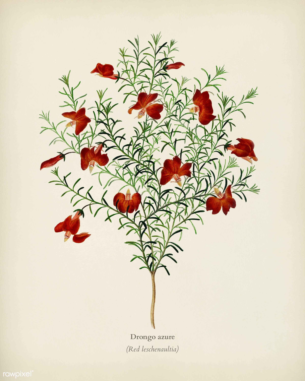 Red leschenaultia (Lechenaultia formosa) illustrated by Charles Dessalines D' Orbigny (1806-1876). Digitally enhanced...