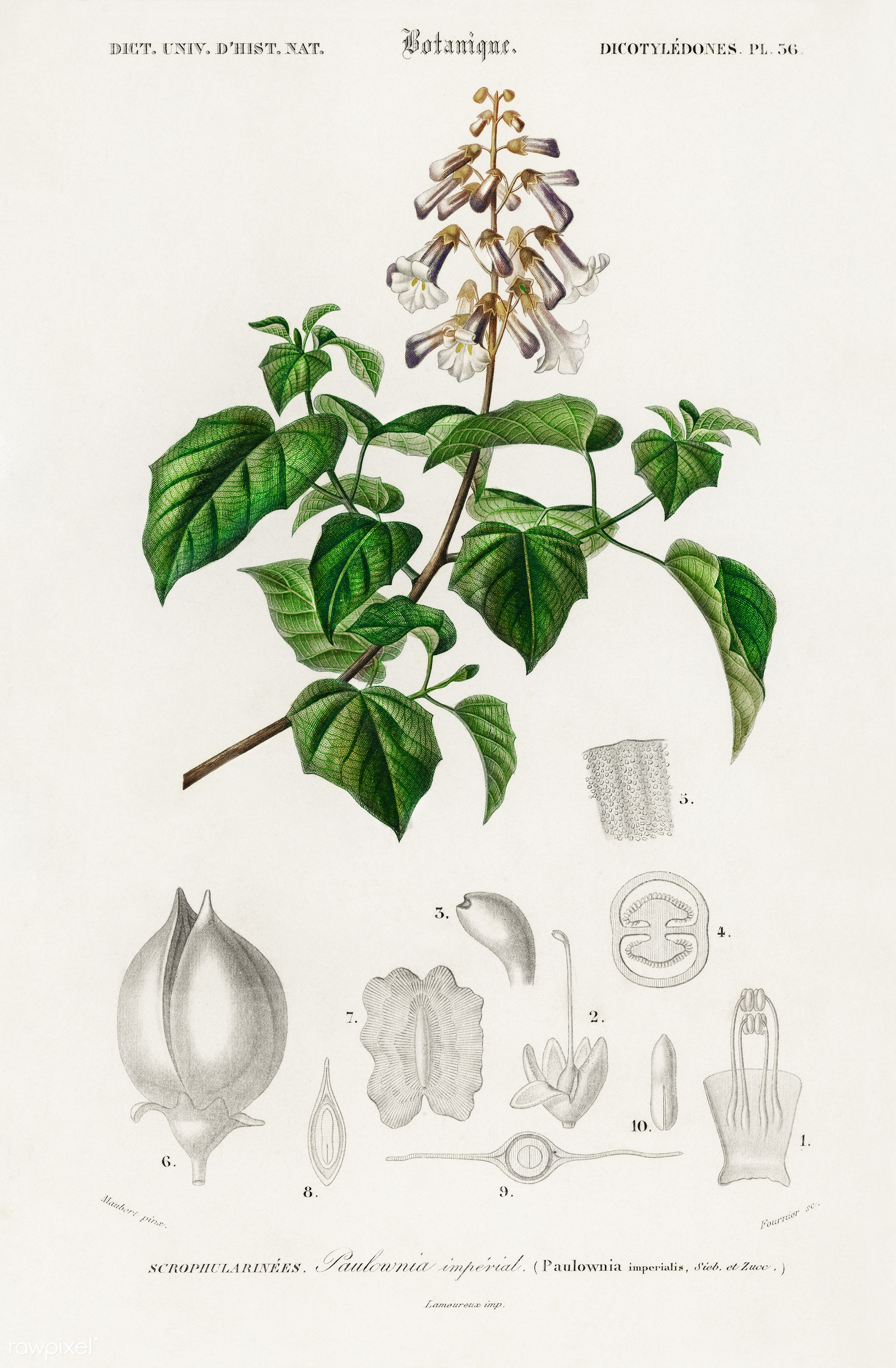 Empress tree (Paulownia imperialis) illustrated by Charles Dessalines D' Orbigny (1806-1876). Digitally enhanced from...