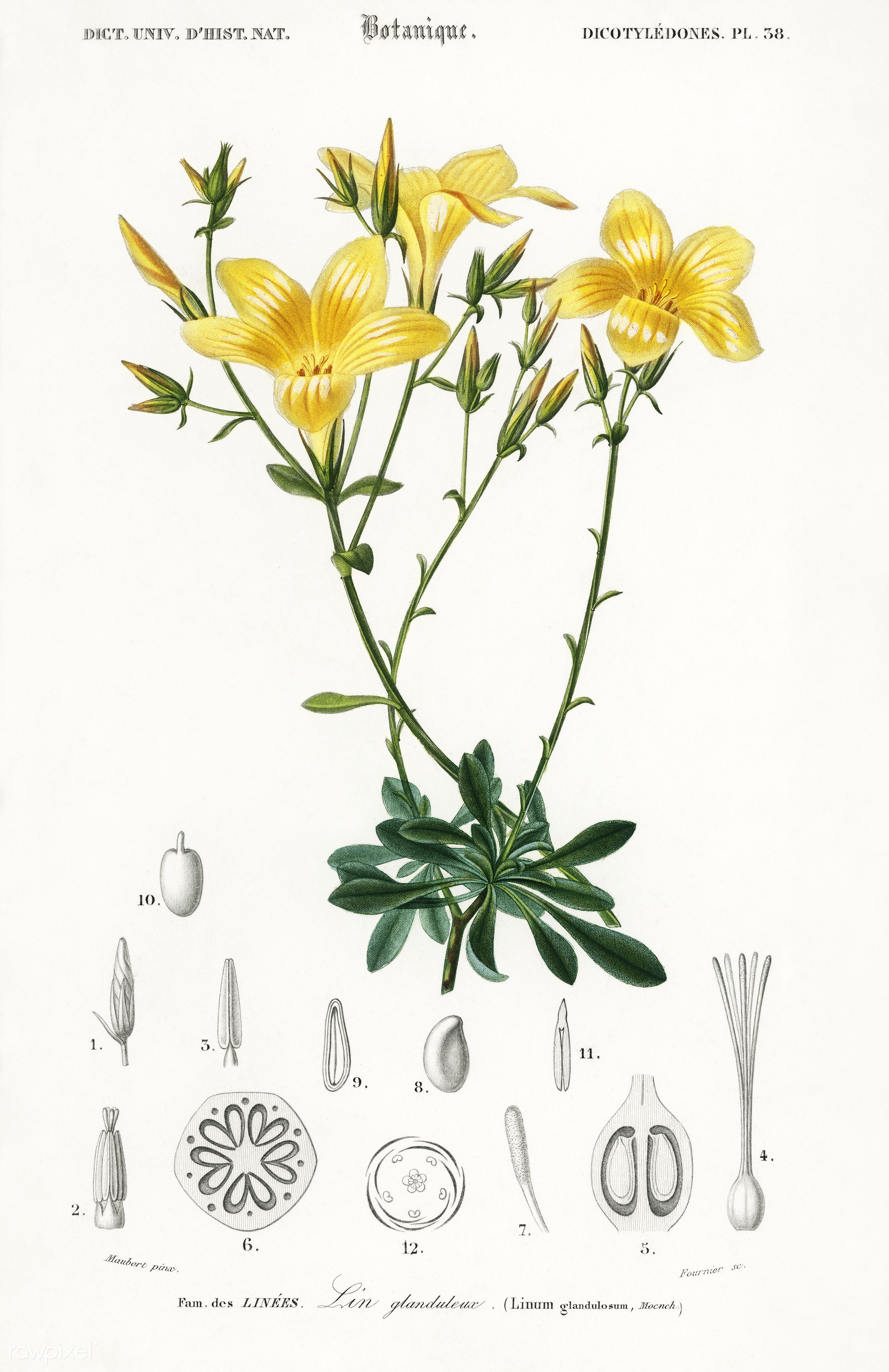 Yellow flax (Linum glandulosum) illustrated by Charles Dessalines D' Orbigny (1806-1876). Digitally enhanced from our...
