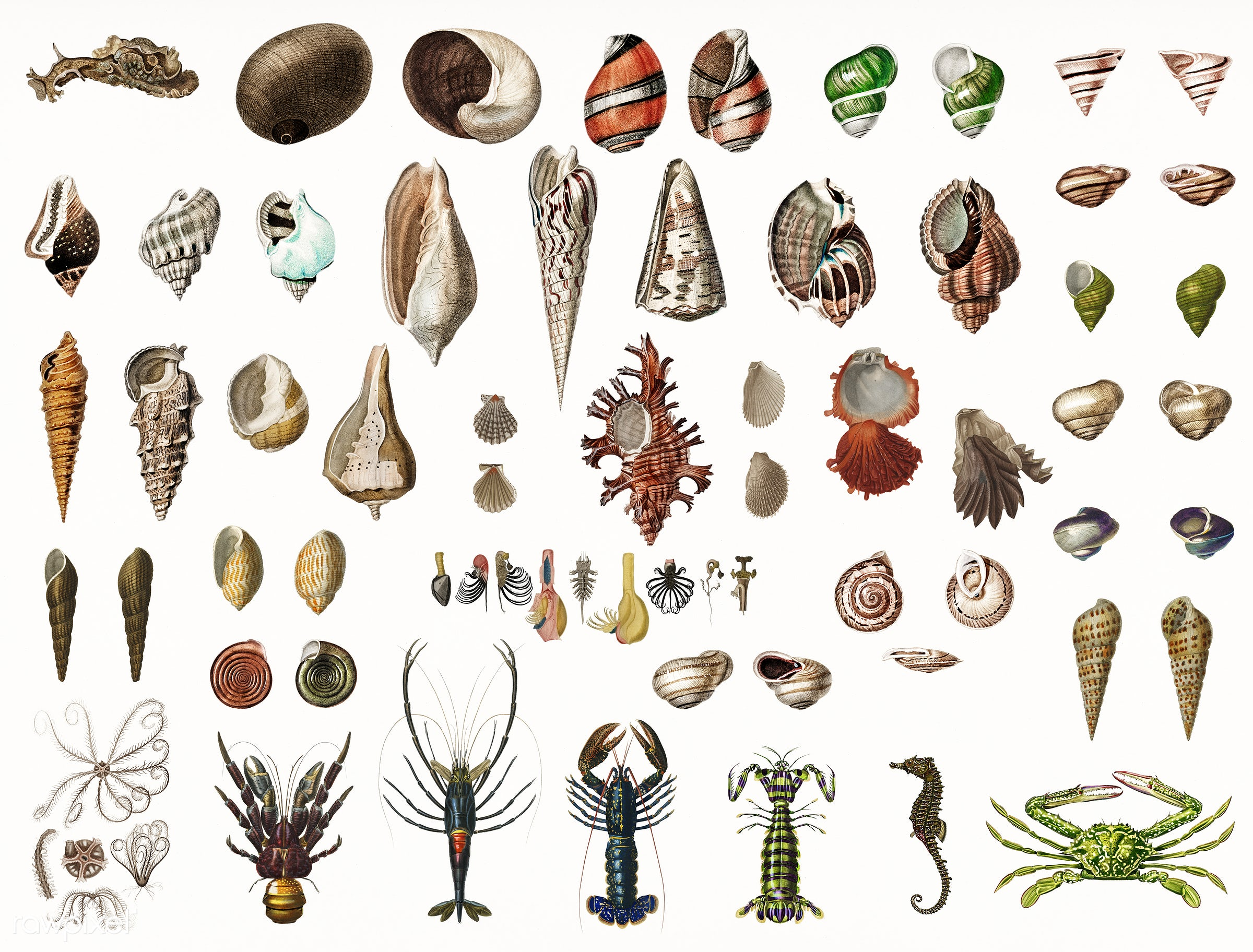 Different types of marine life illustrated by Charles Dessalines D' Orbigny (1806-1876) Digitally enhanced from our own...