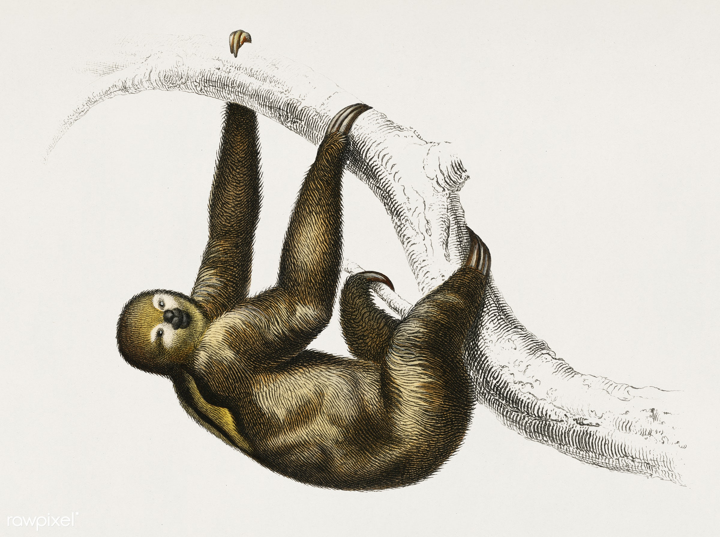 Three-toed Sloth (Bradypus ustus) illustrated by Charles Dessalines D' Orbigny (1806-1876). Digitally enhanced from our...