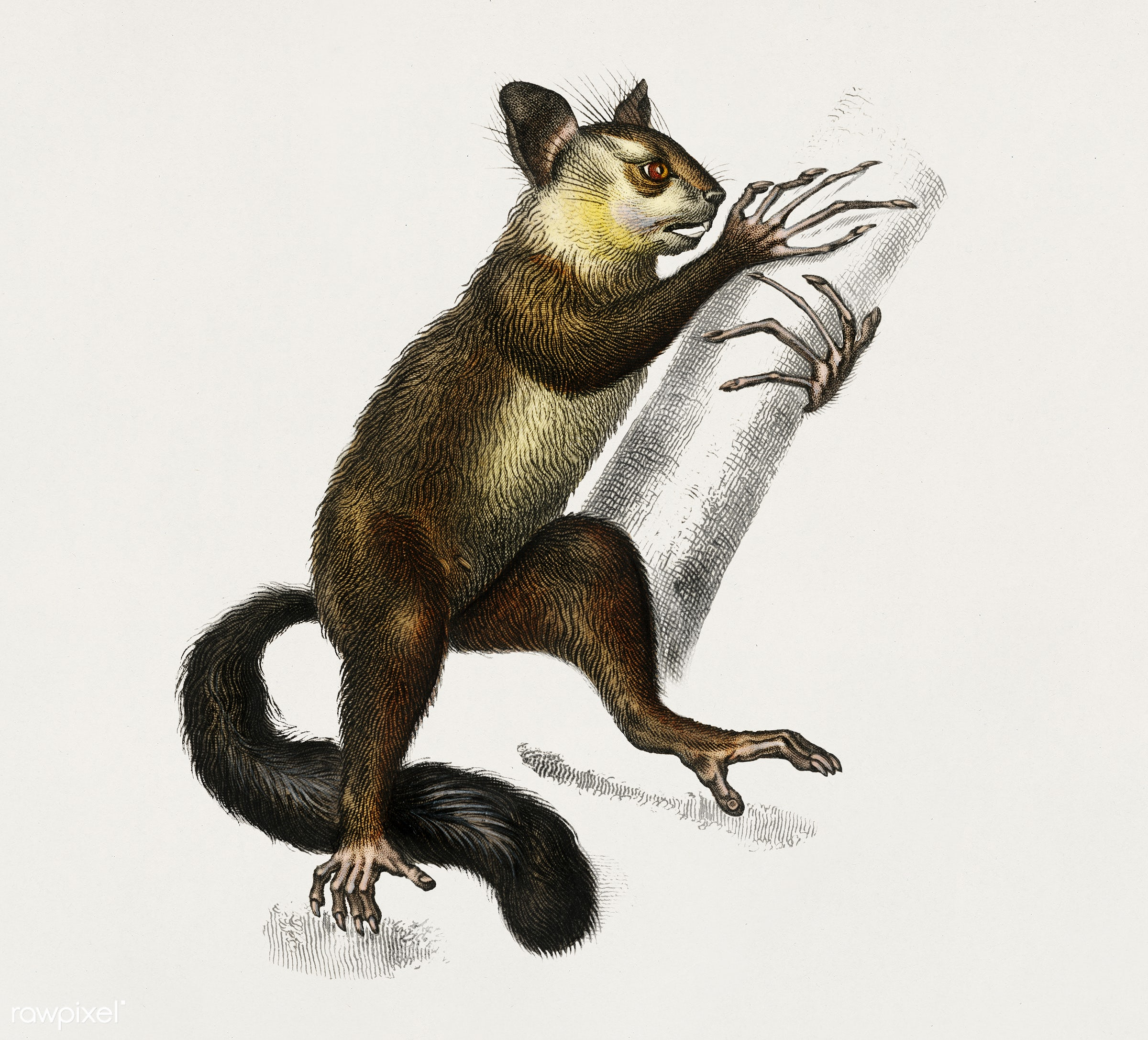 Aye-aye (Cheiromys madagascariensis) illustrated by Charles Dessalines D' Orbigny (1806-1876). Digitally enhanced from...