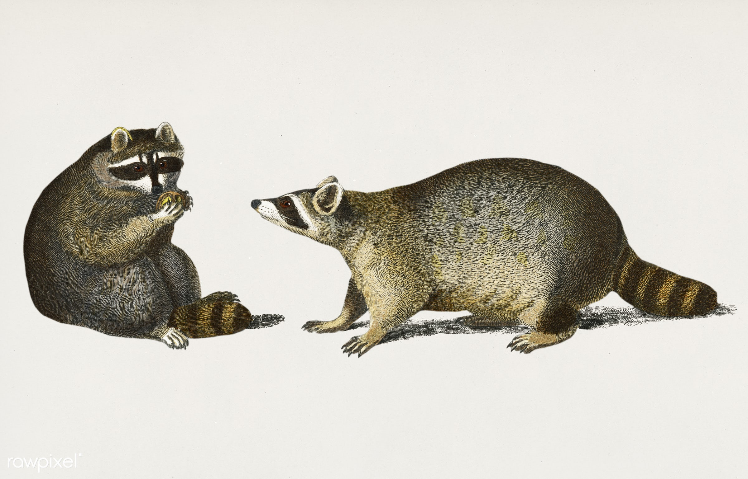 Raccoon (Procyon lotor) illustrated by Charles Dessalines D' Orbigny (1806-1876). Digitally enhanced from our own 1892...