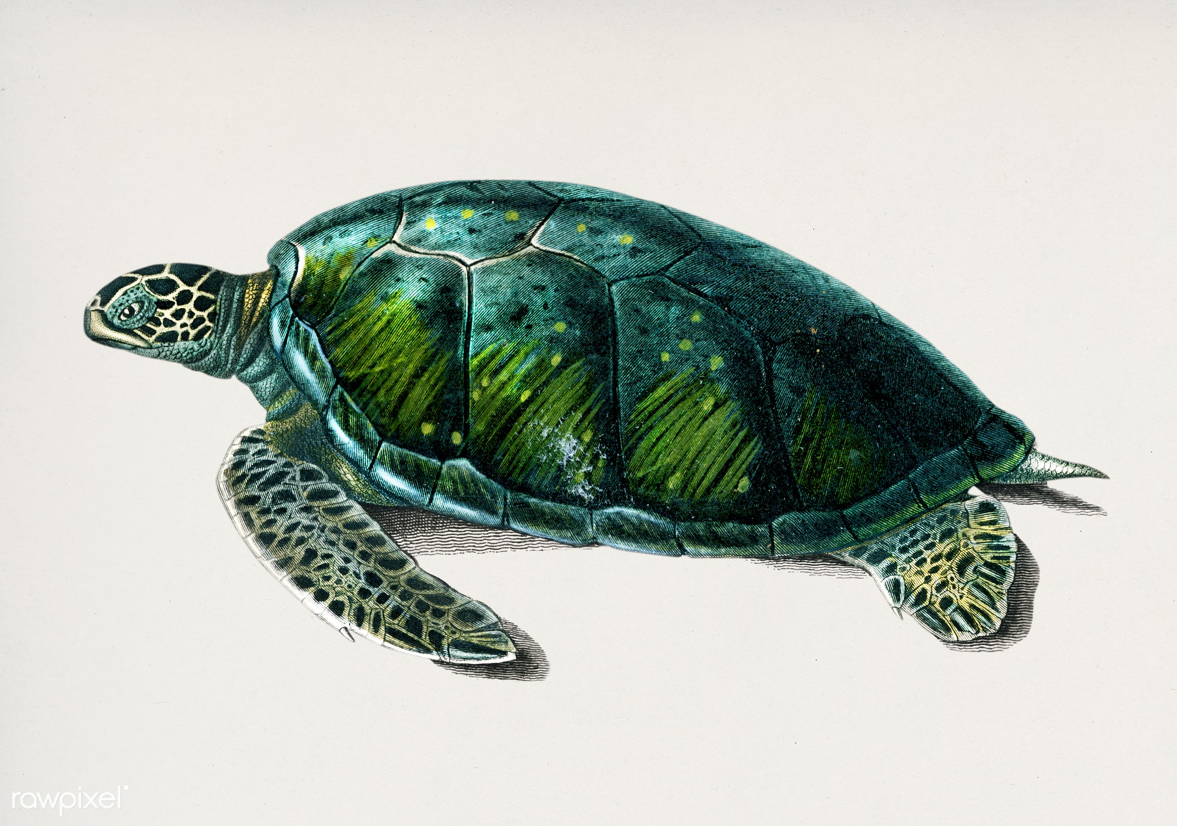 Green Sea Turtle (Chelonia mydus) illustrated by Charles Dessalines D' Orbigny (1806-1876). Digitally enhanced from our...