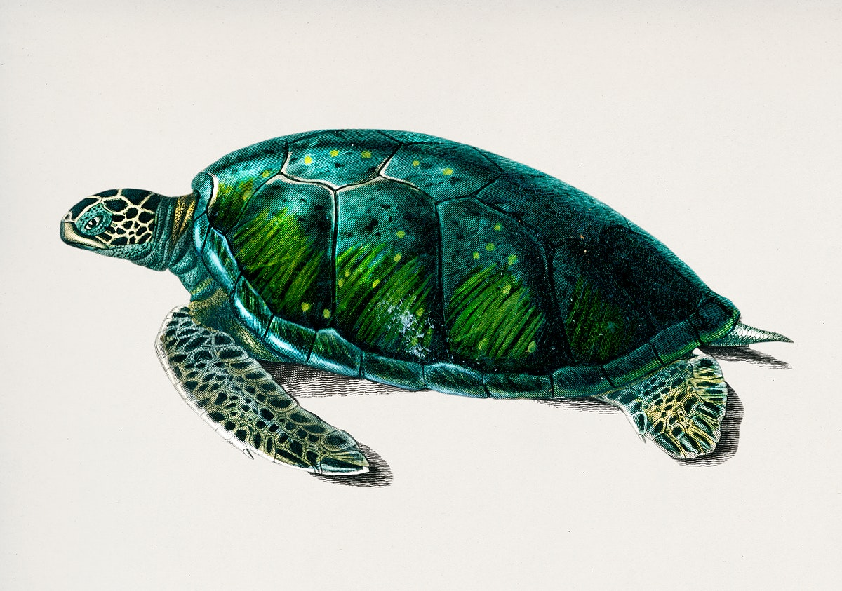 Green Sea Turtle (Chelonia mydus) illustrated by Charles Dessalines D' Orbigny (1806-1876). Digitally enhanced from our own…