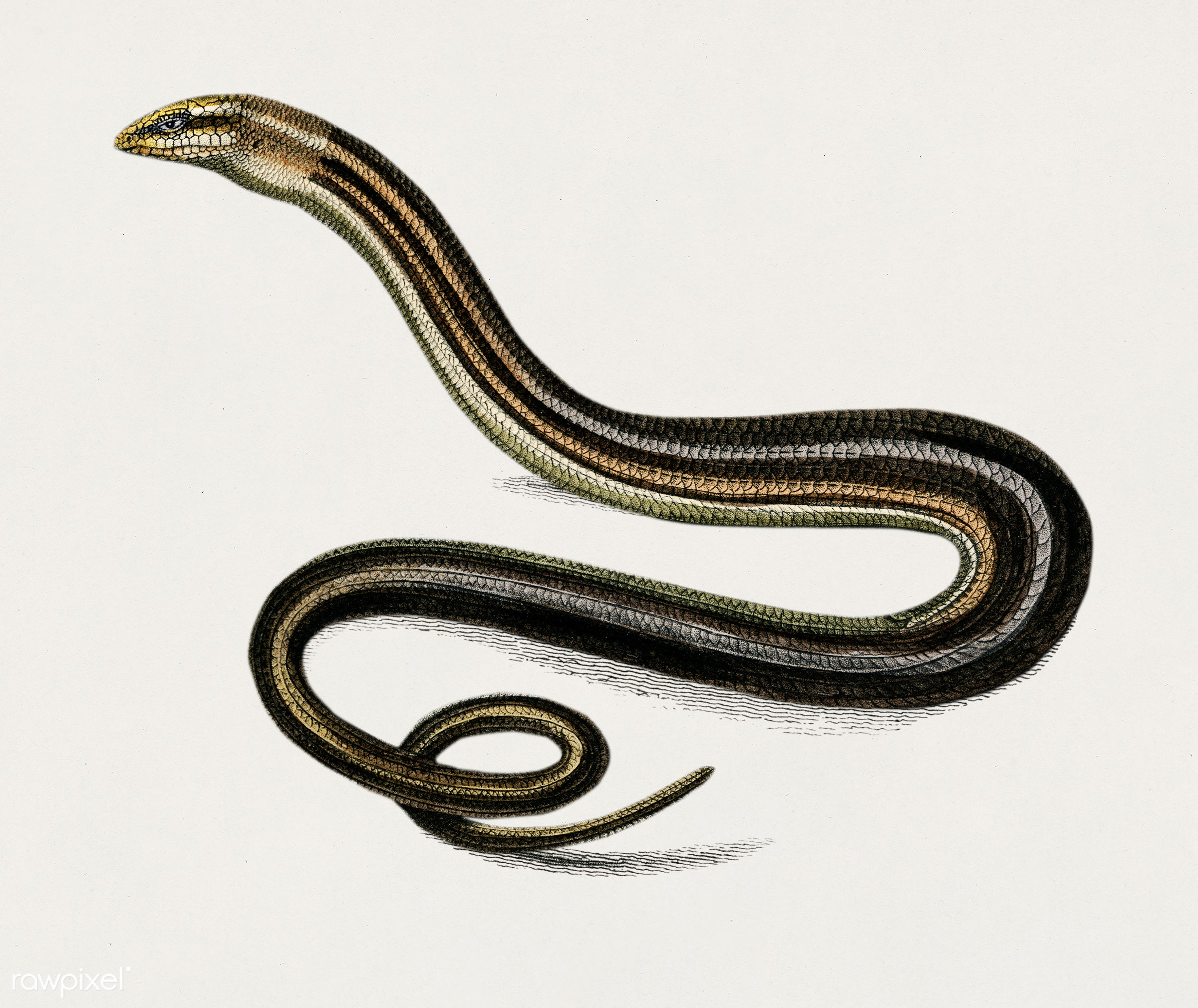 Pseudopus Pallasii illustrated by Charles Dessalines D' Orbigny (1806-1876). Digitally enhanced from our own 1892...