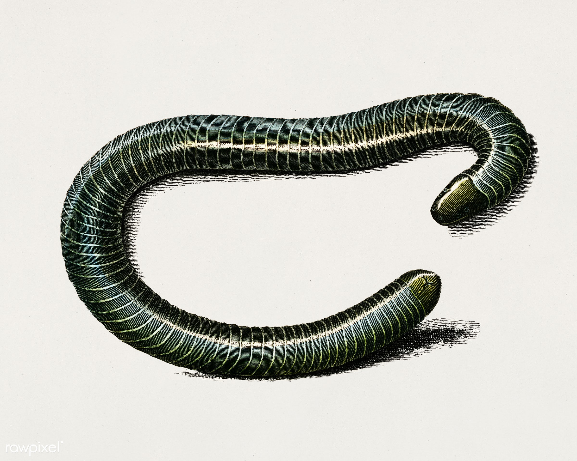 Ringed caecilian (Siphonops annulatus) illustrated by Charles Dessalines D' Orbigny (1806-1876). Digitally enhanced from...