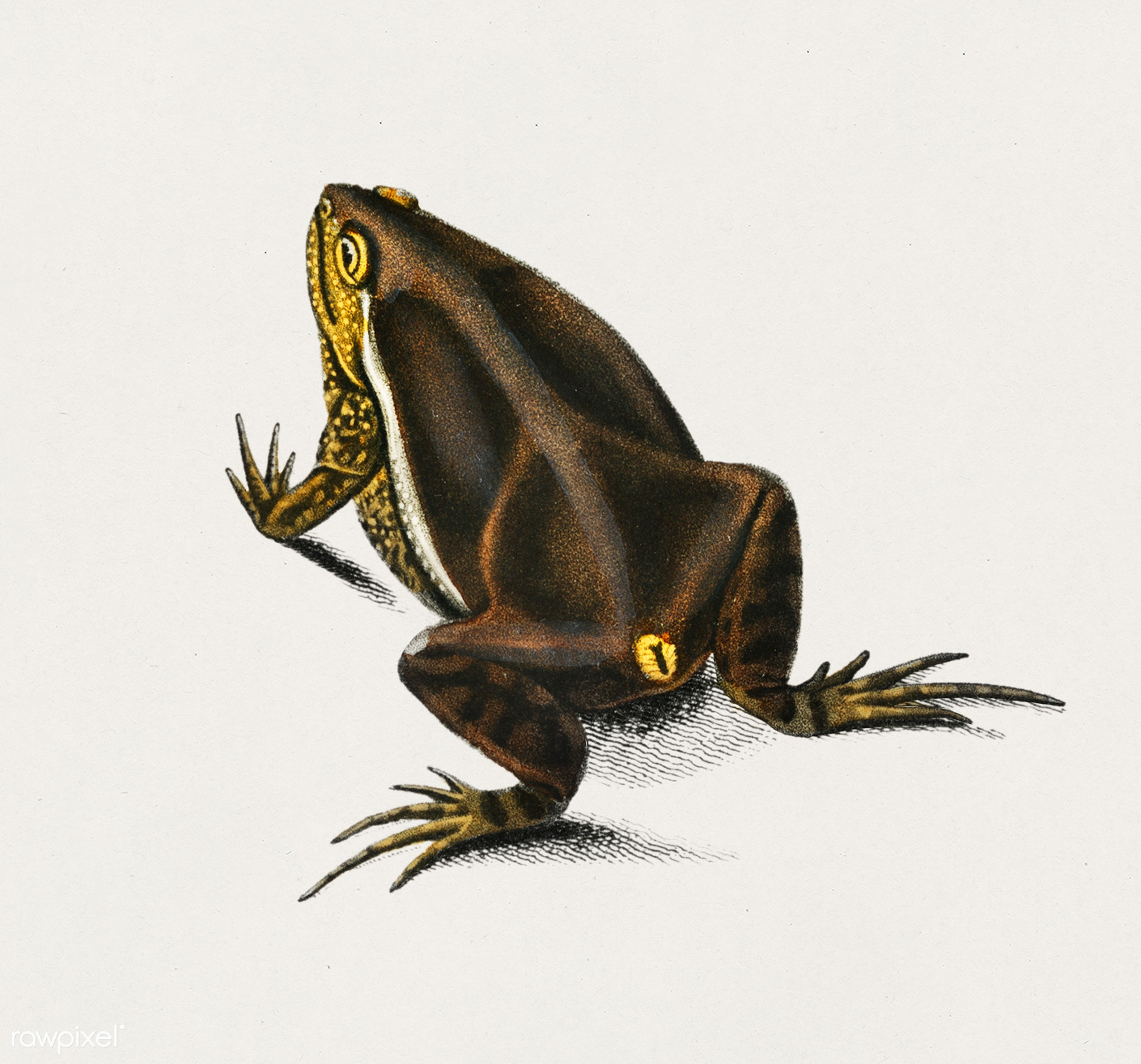 Oval frog (Engystoma ovale) illustrated by Charles Dessalines D' Orbigny (1806-1876). Digitally enhanced from our own...