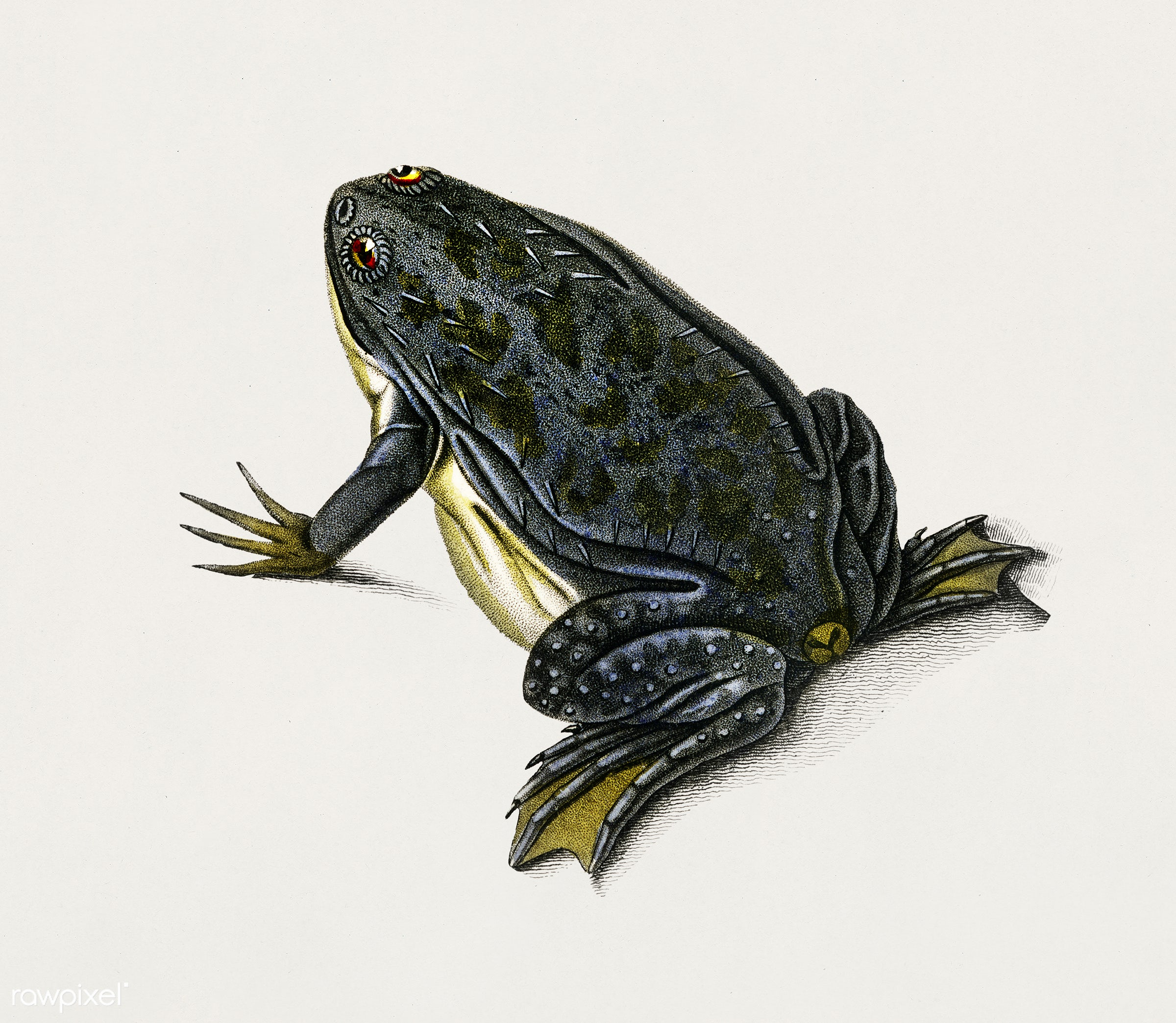 Clawed frog (Dactylethra capensis) illustrated by Charles Dessalines D' Orbigny (1806-1876). Digitally enhanced from our...