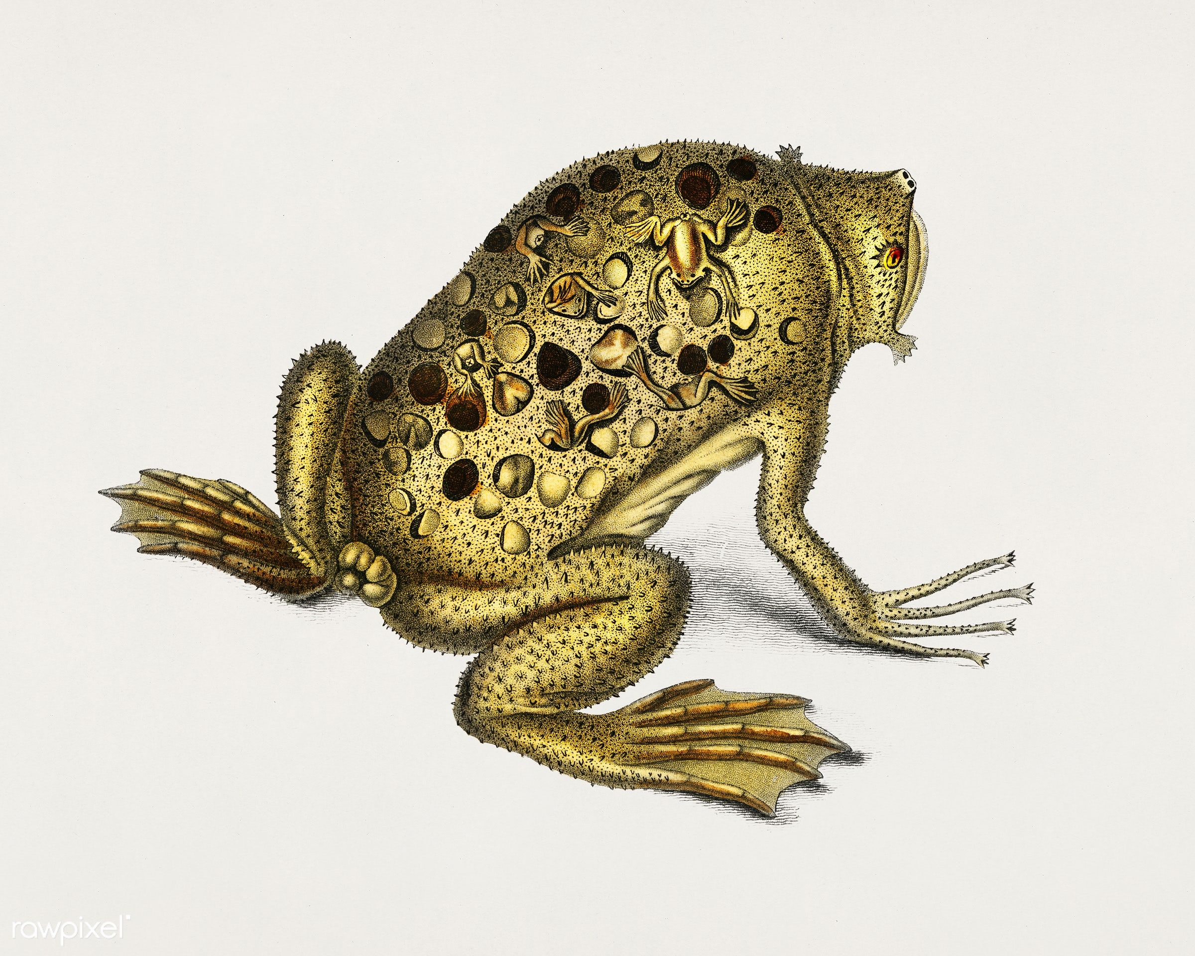 Surinam toad (Pipa americana) illustrated by Charles Dessalines D' Orbigny (1806-1876). Digitally enhanced from our own...