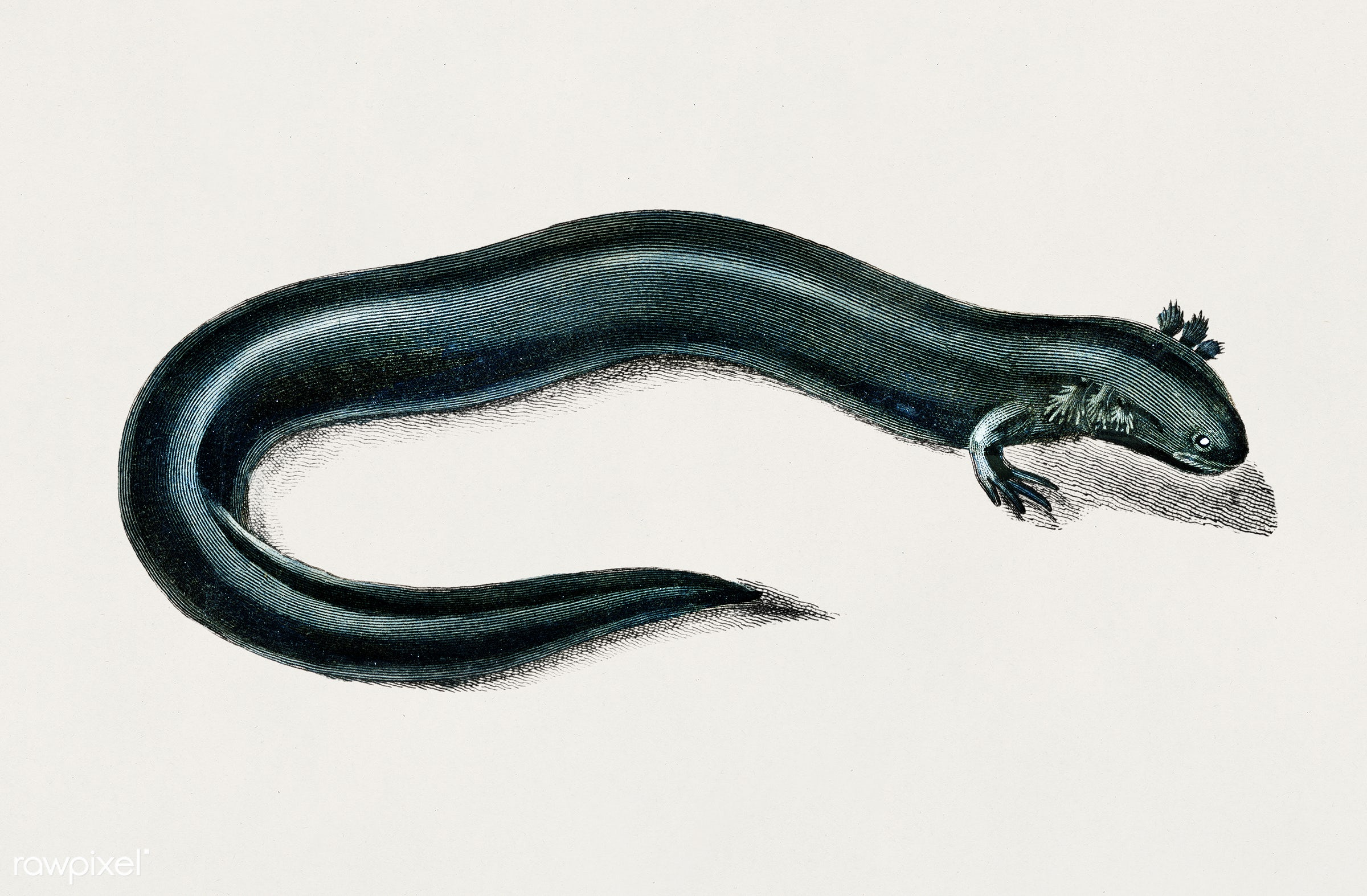 Greater siren (Siren lacertina) illustrated by Charles Dessalines D' Orbigny (1806-1876). Digitally enhanced from our...