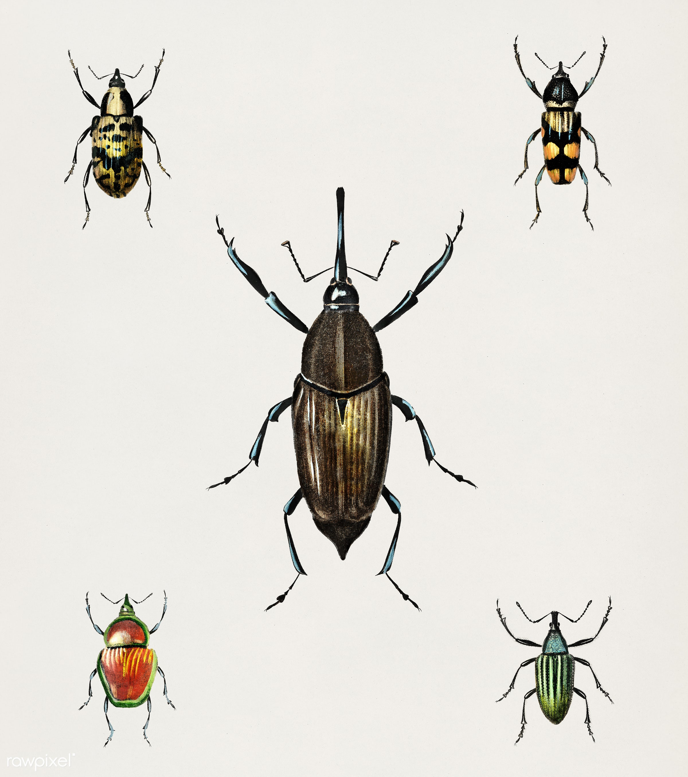 Different types of weevils illustrated by Charles Dessalines D' Orbigny (1806-1876). Digitally enhanced from our own...