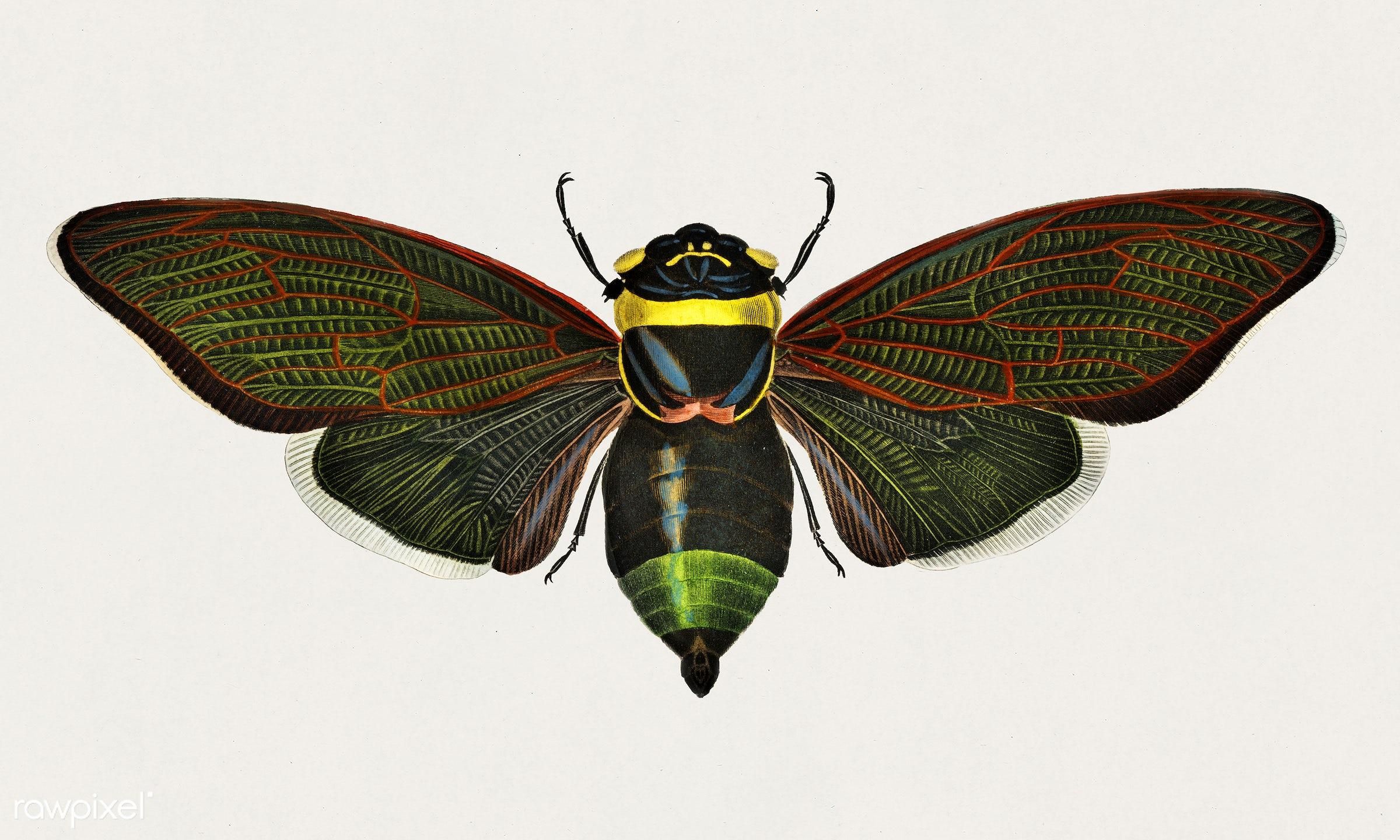 Gian cicada (Cicada speciosa) illustrated by Charles Dessalines D' Orbigny (1806-1876). Digitally enhanced from our own...