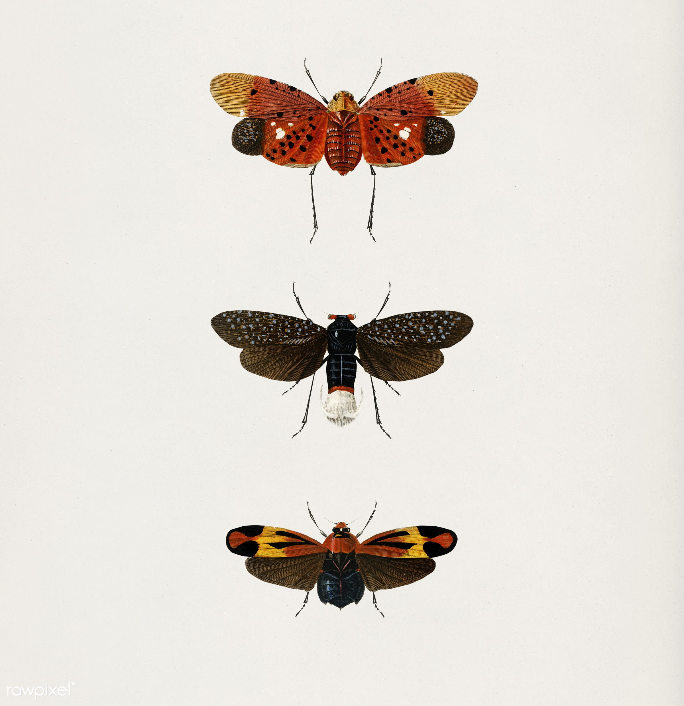 Collection of hand drawings of moths illustrated by Charles Dessalines D' Orbigny (1806-1876). Digitally enhanced from...