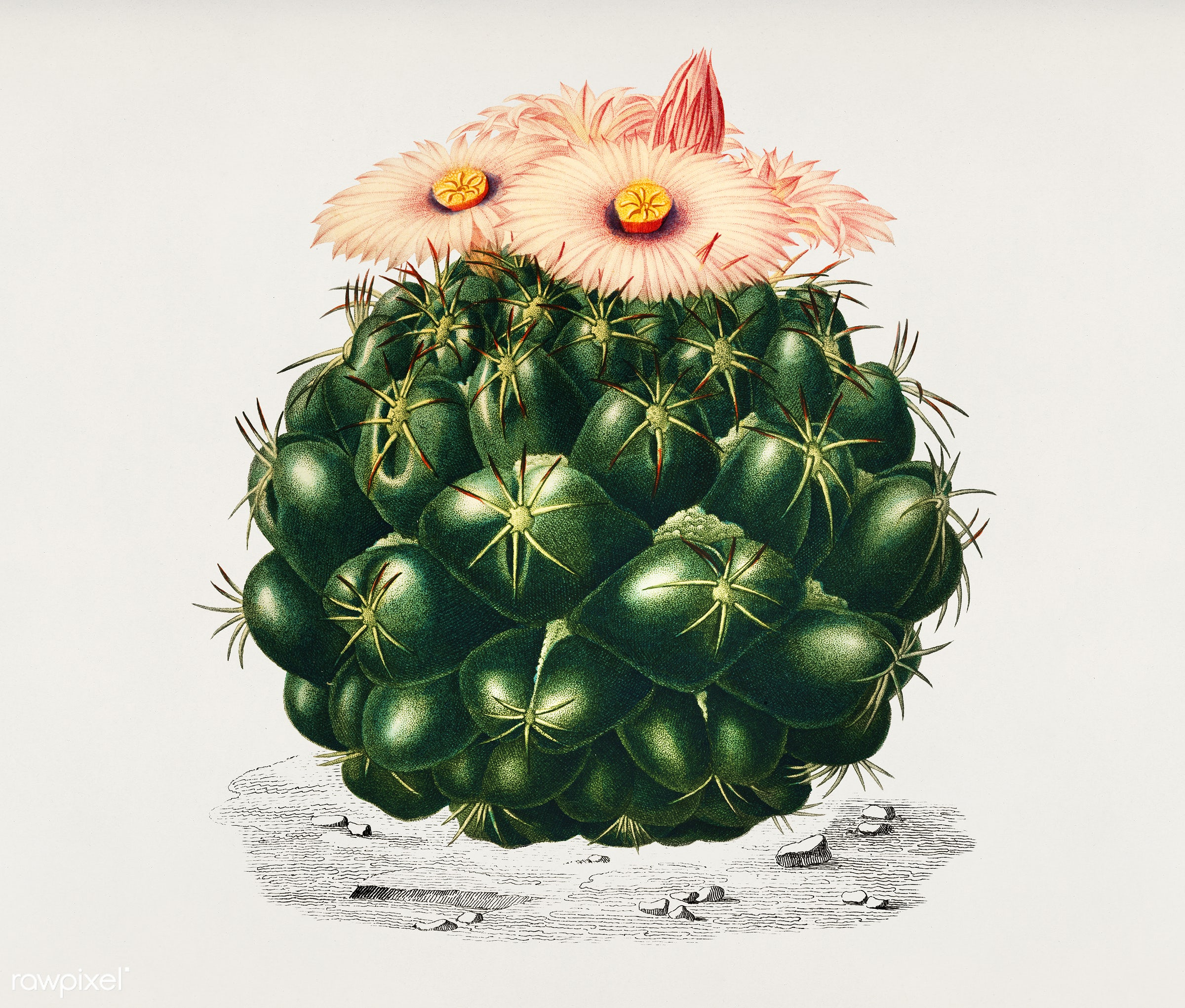 Starry Ball (Mammillaria elephantidens) illustrated by Charles Dessalines D' Orbigny (1806-1876). Digitally enhanced...