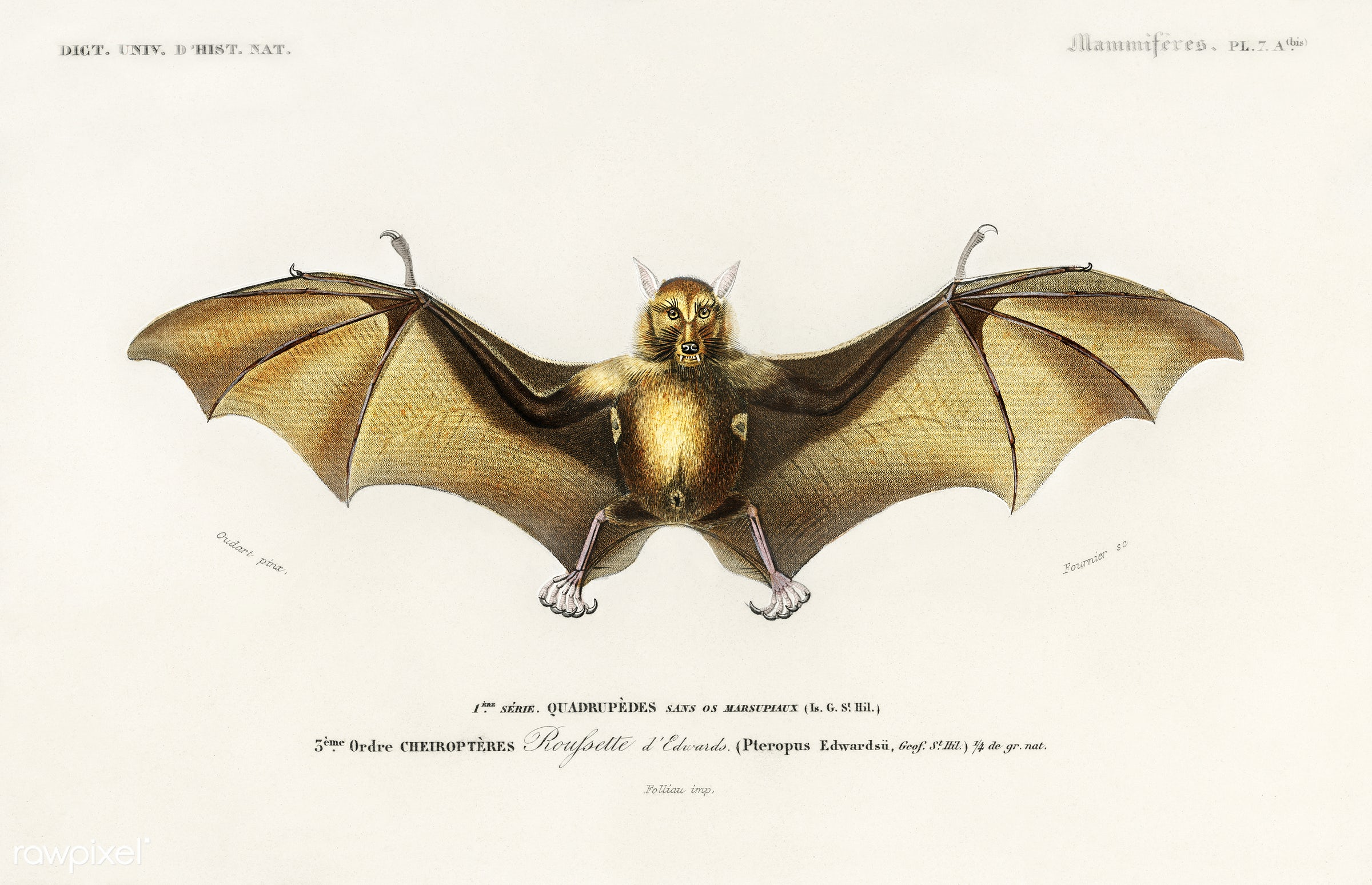 Bat (Roufsette) illustrated by Charles Dessalines D' Orbigny (1806-1876). Digitally enhanced from our own 1892 edition...