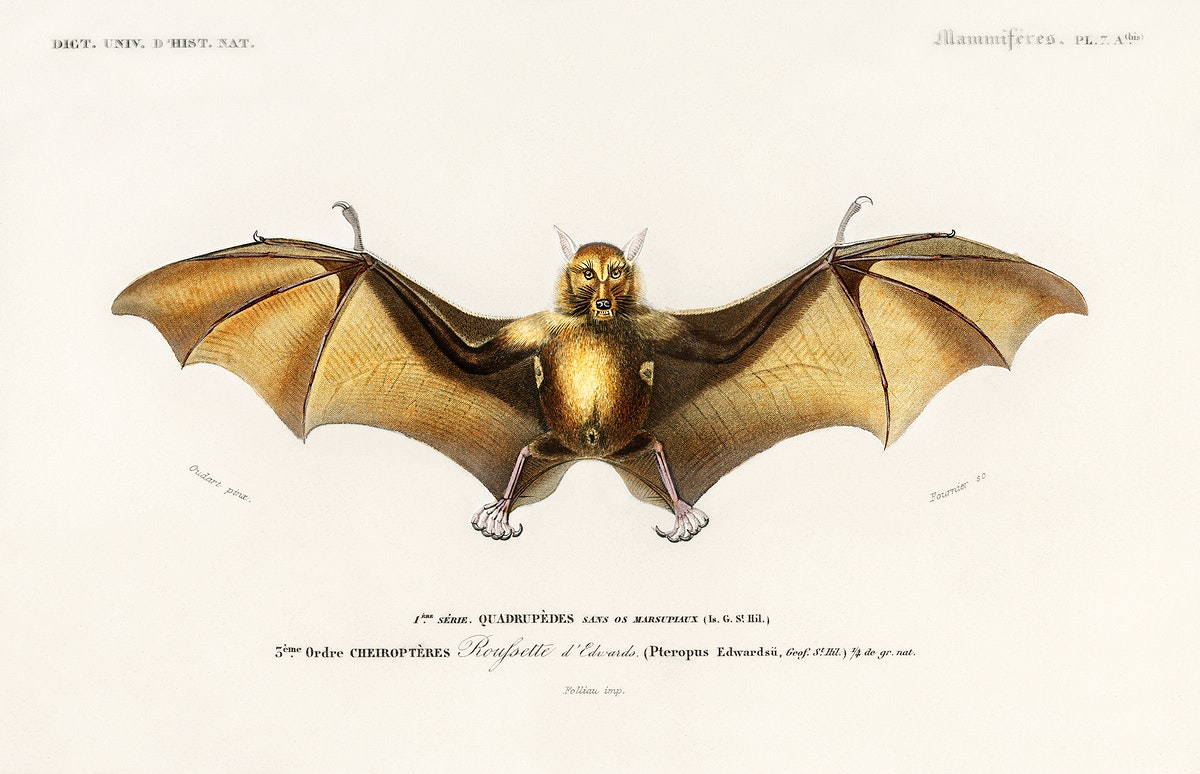 Bat (Roufsette) illustrated by Charles Dessalines D' Orbigny (1806-1876). Digitally enhanced from our own 1892 edition of…