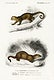 """Kinkajou (Potos caudivolvulus) and The European Otter (Mustela Lutra) illustrated by <a href=""""https://www.rawpixel.com/search/Charles%20Dessalines%20D%27%20Orbigny?sort=curated&amp;page=1"""">Charles Dessalines D&#39; Orbigny</a> (1806-1876). Digitally enhanced from our own 1892 edition of Dictionnaire Universel D&#39;histoire Naturelle."""