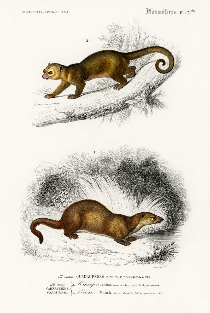 Kinkajou (Potos caudivolvulus) and The European Otter (Mustela Lutra) illustrated by Charles Dessalines D' Orbigny (1806…