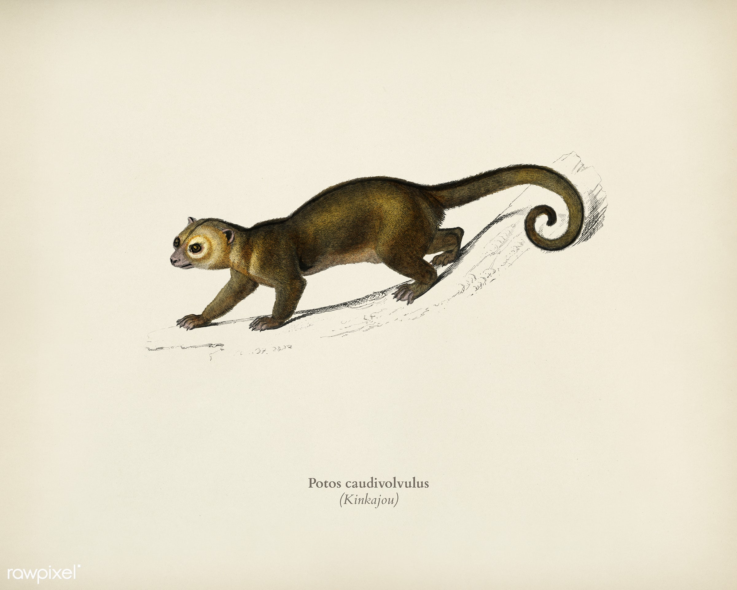 Kinkajou (Potos caudivolvulus) illustrated by Charles Dessalines D' Orbigny (1806-1876). Digitally enhanced from our own...