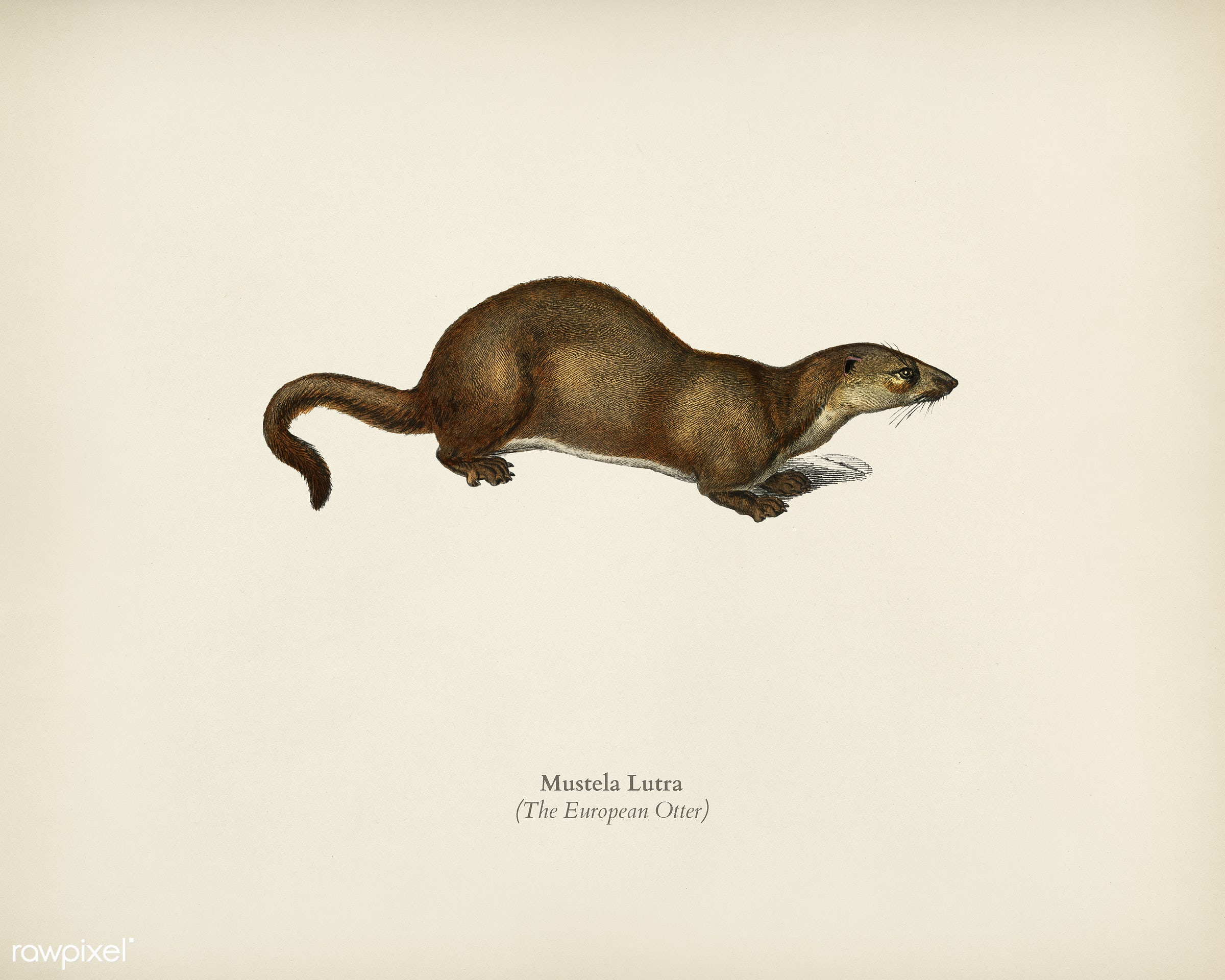 The European Otter (Mustela Lutra) illustrated by Charles Dessalines D' Orbigny (1806-1876). Digitally enhanced from our...