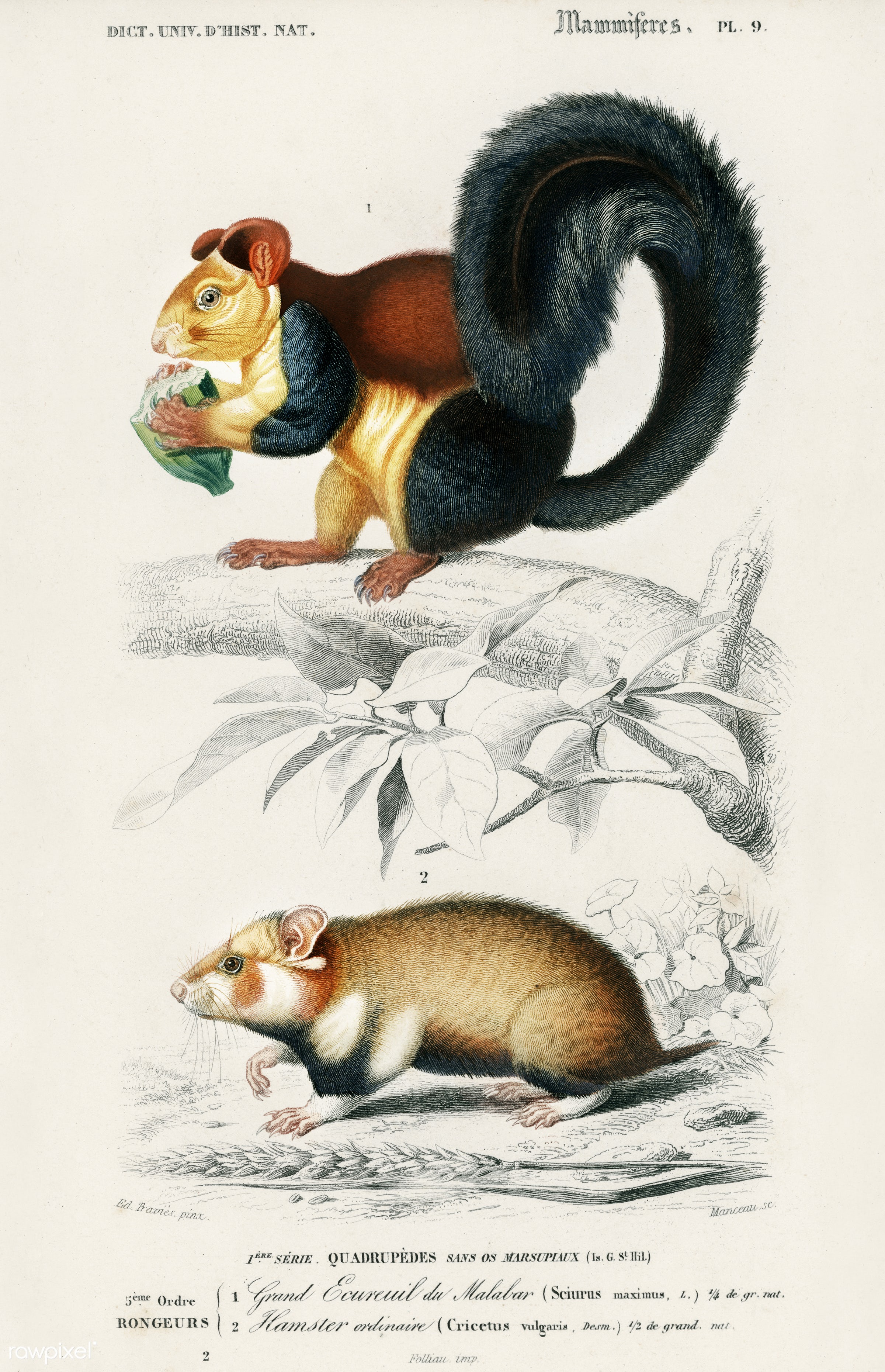 Squirrel (Sciurus) and Hamster (Cricetus)illustrated by Charles Dessalines D' Orbigny (1806-1876). Digitally enhanced...